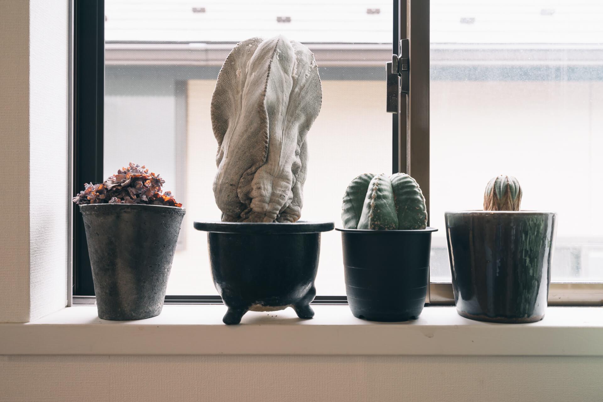 植物たちの中でもひときわ目を引くのが、個性的なサボテンのコレクション。