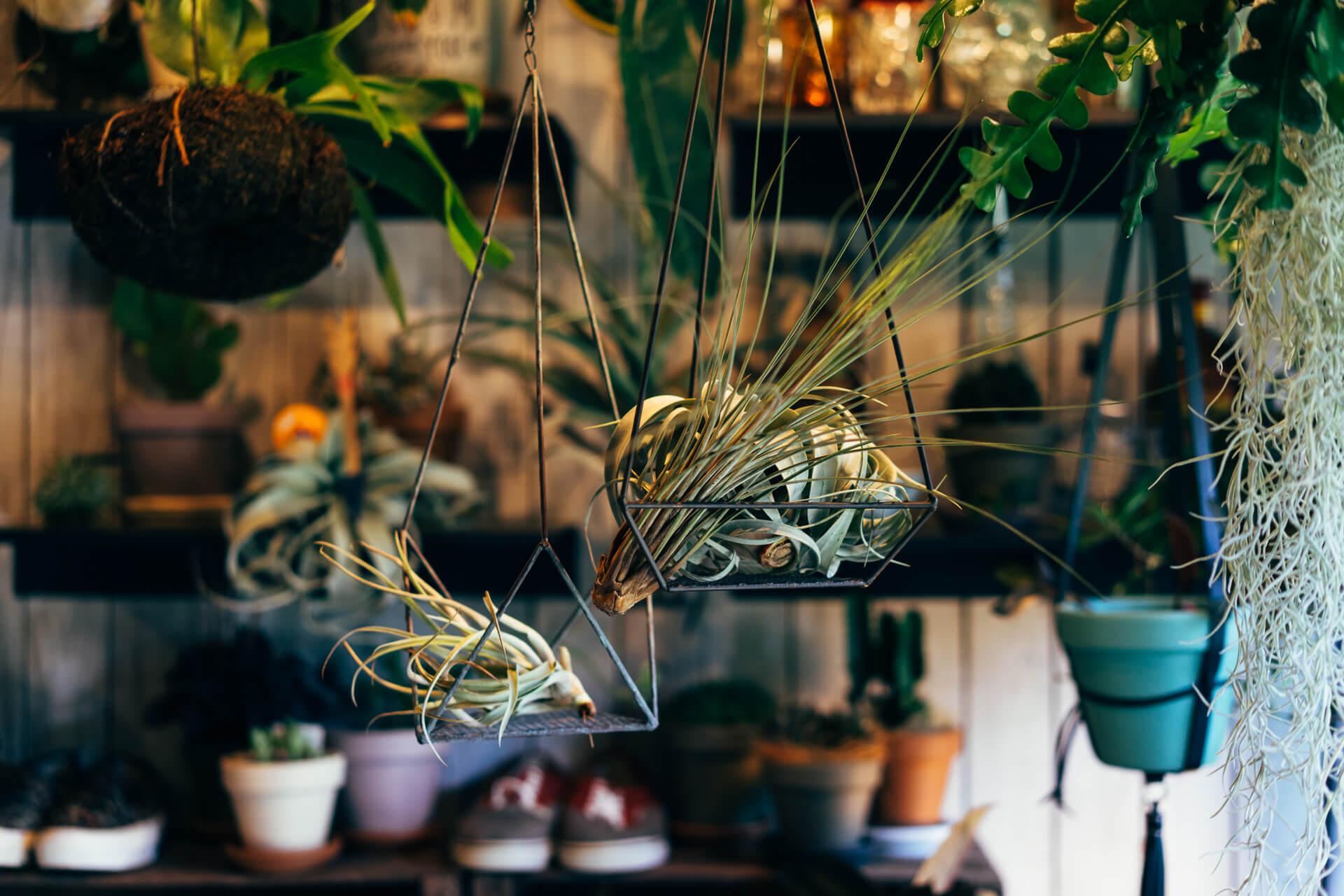 目線の高さに合わせることで植物が綺麗に見える、ハンギンググリーンも人気があります。 エアプランツを組み合わせるのがおすすめ。(プラントハンガー 1,500円〜、エアプランツ 800円〜2,000円、右のキセログラフィカ 5,000円)