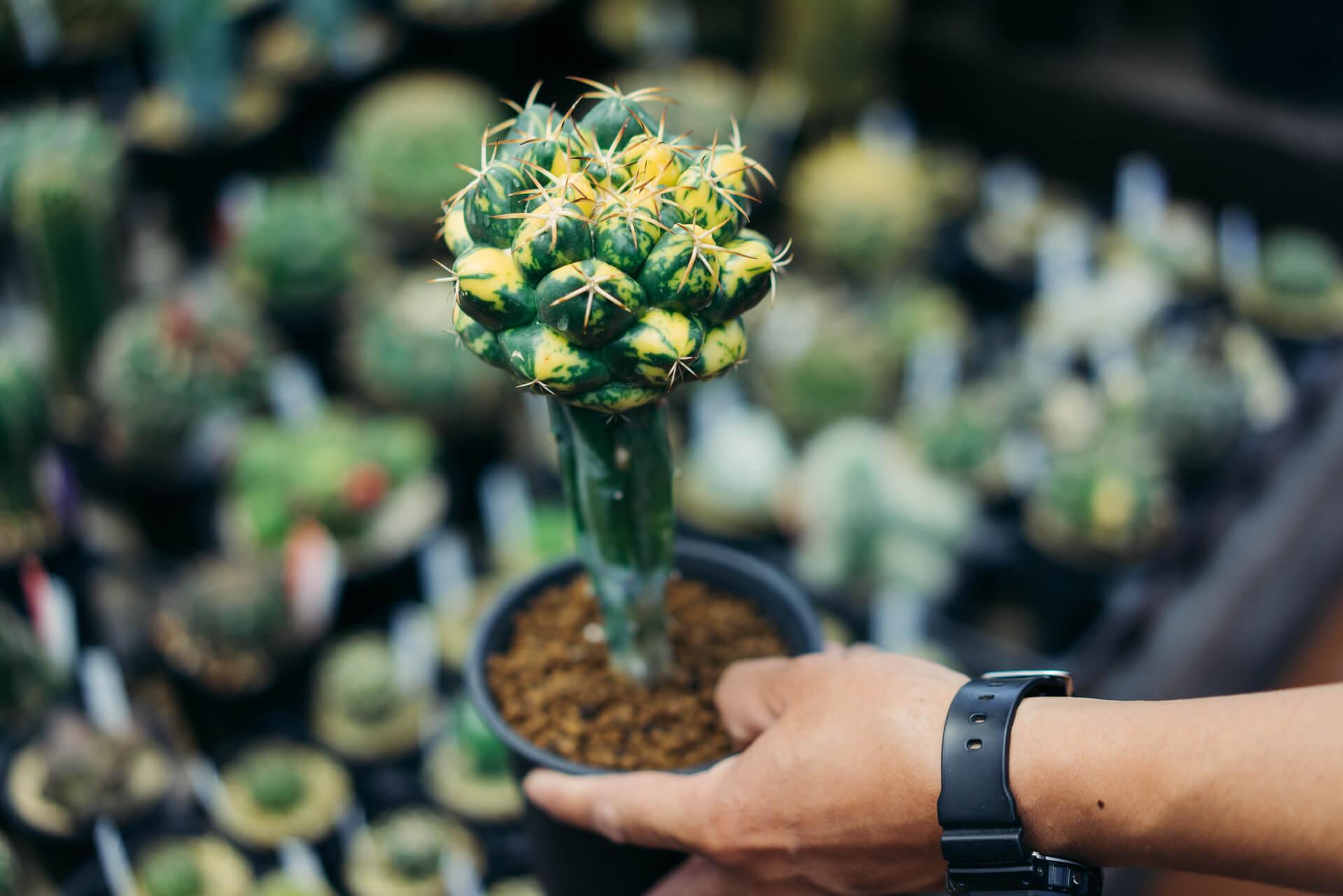 斑入り種と呼ばれる、黄色の模様が入ったサボテン(象牙丸錦 15,000円)