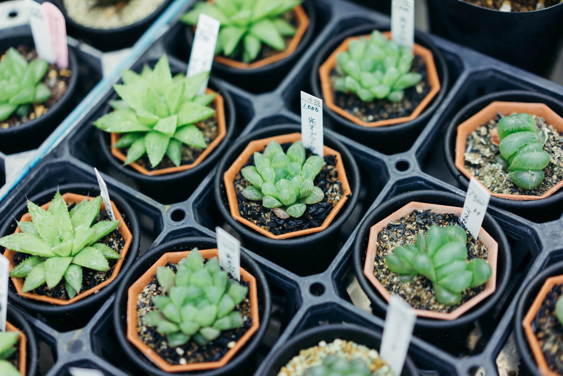 ハオルチアは、光にかざすと葉に透明感のある種類。