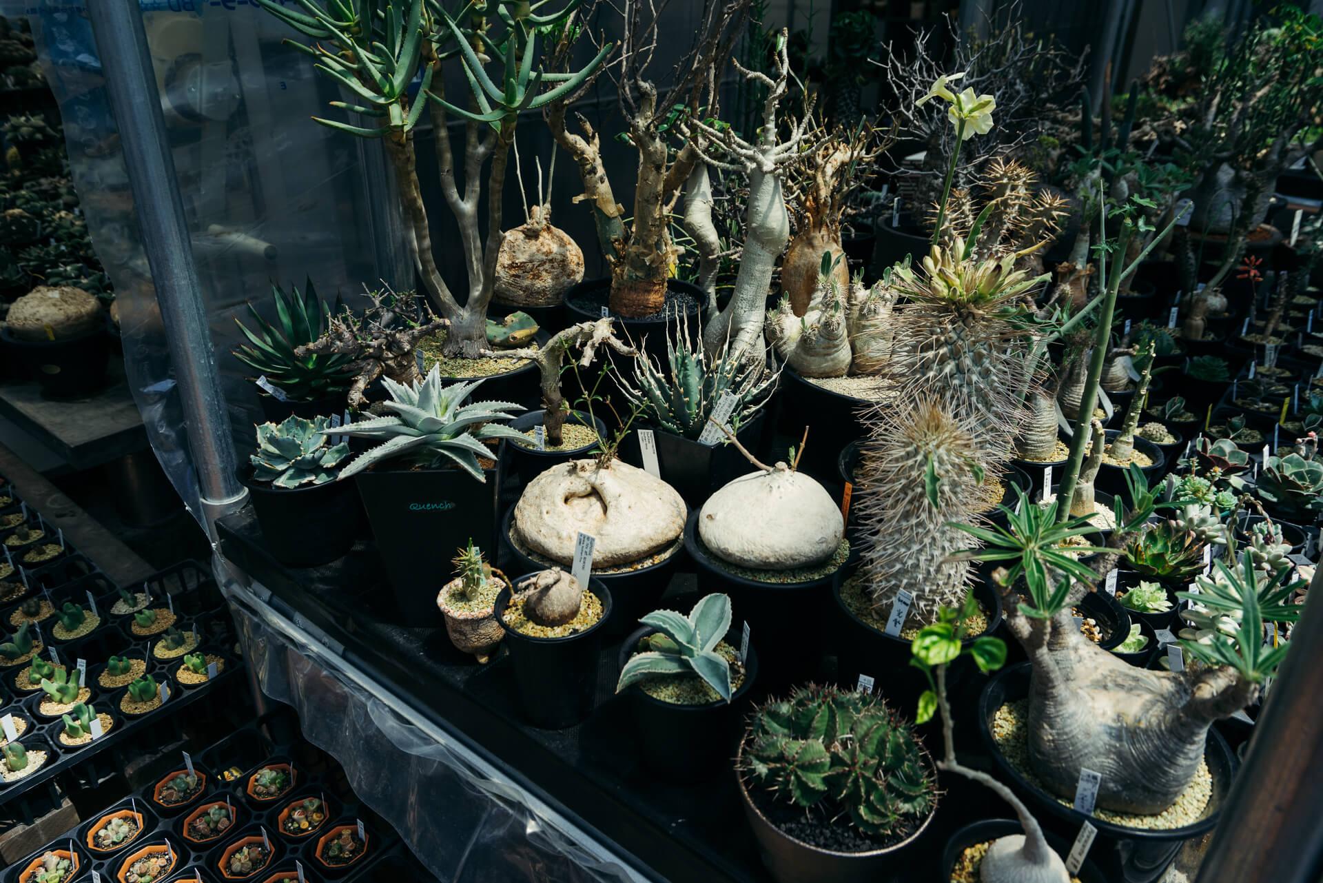 奇抜な姿が最近人気を集める塊根植物も多数そろいます。
