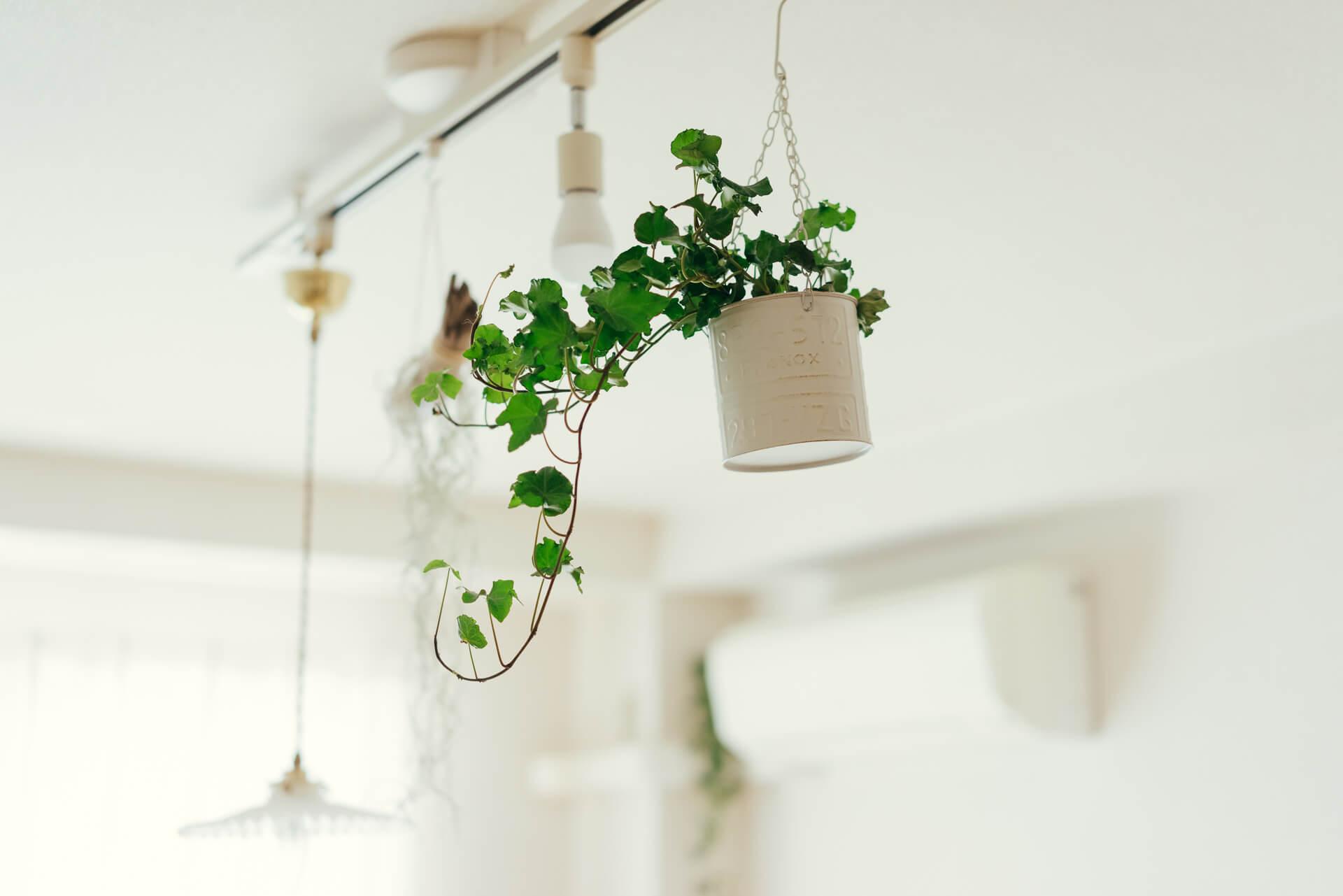 「斑入りのものや、垂れ下がる植物が好き」というsakiyukaさん。引掛シーリングにつけられるライティングレールにエアプランツやアイビーを配しています。