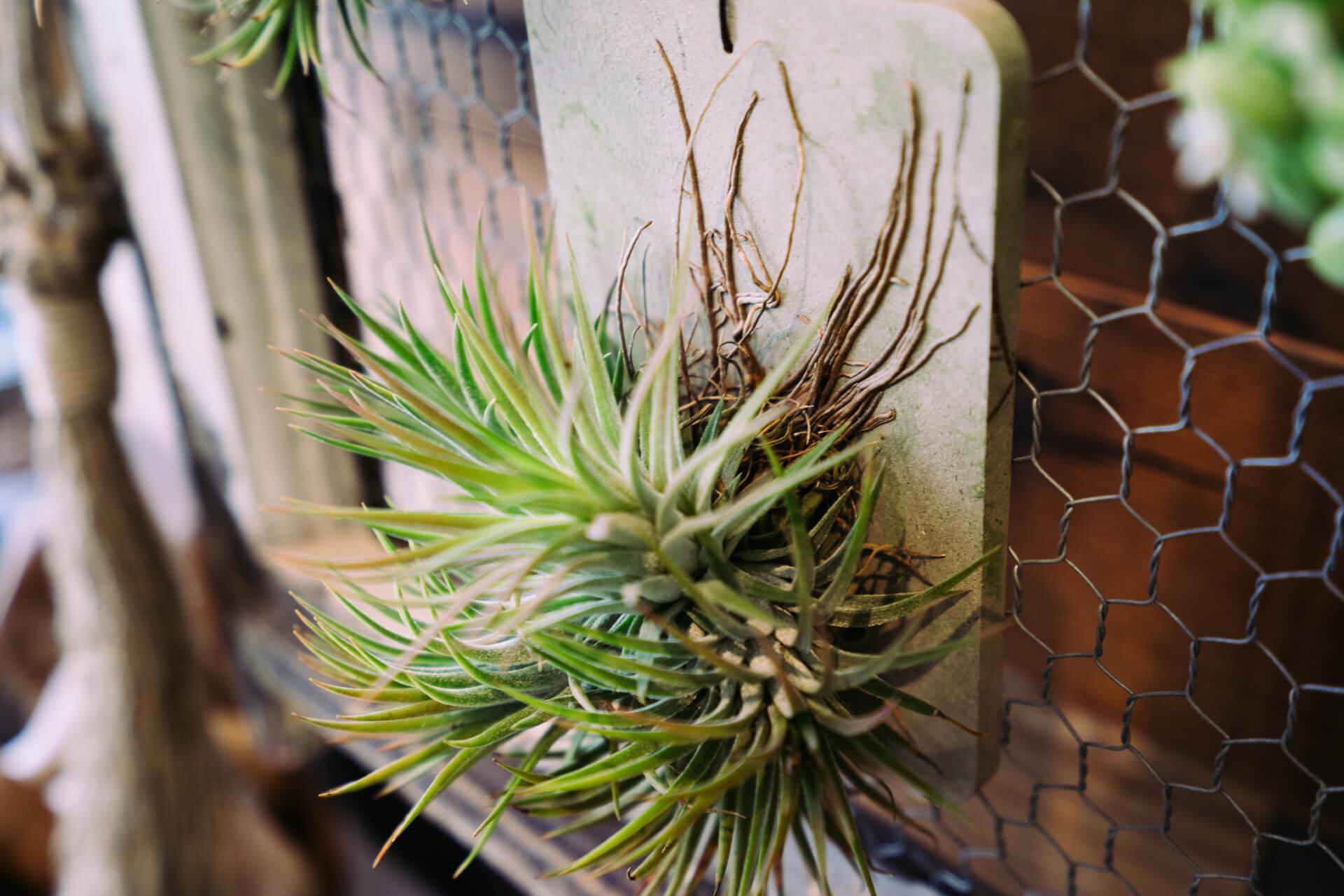 こちらはTOKYで取り扱う園芸用土 best soil mixを開発する BANKS Collection による新作、バイオマスプレート。時間はかかりますがエアプランツを結びつけると、しっかりと根をはり始めます。(3,600円〜)