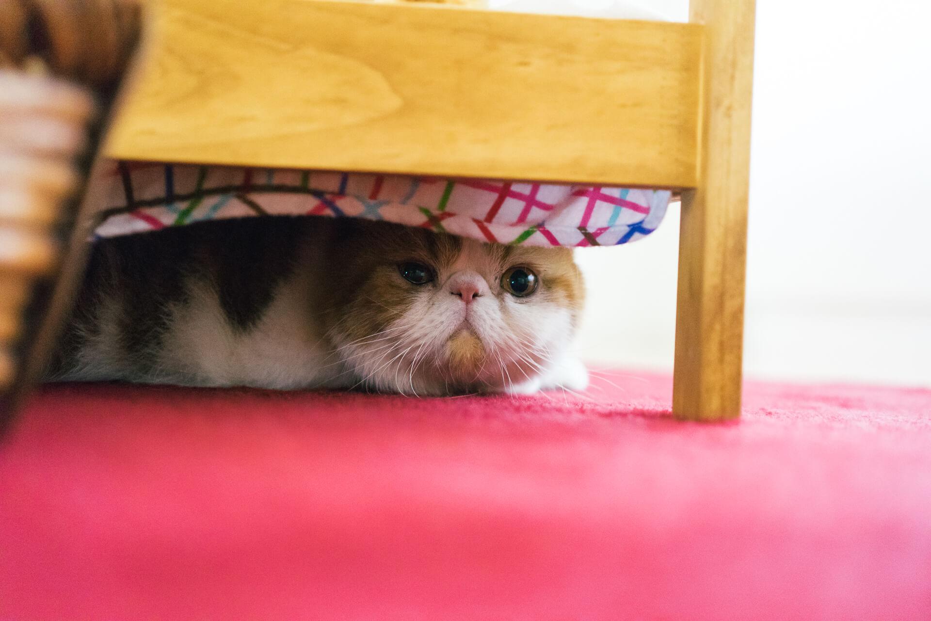 弟猫のぽぽすけ。さんはちょっと人見知り。