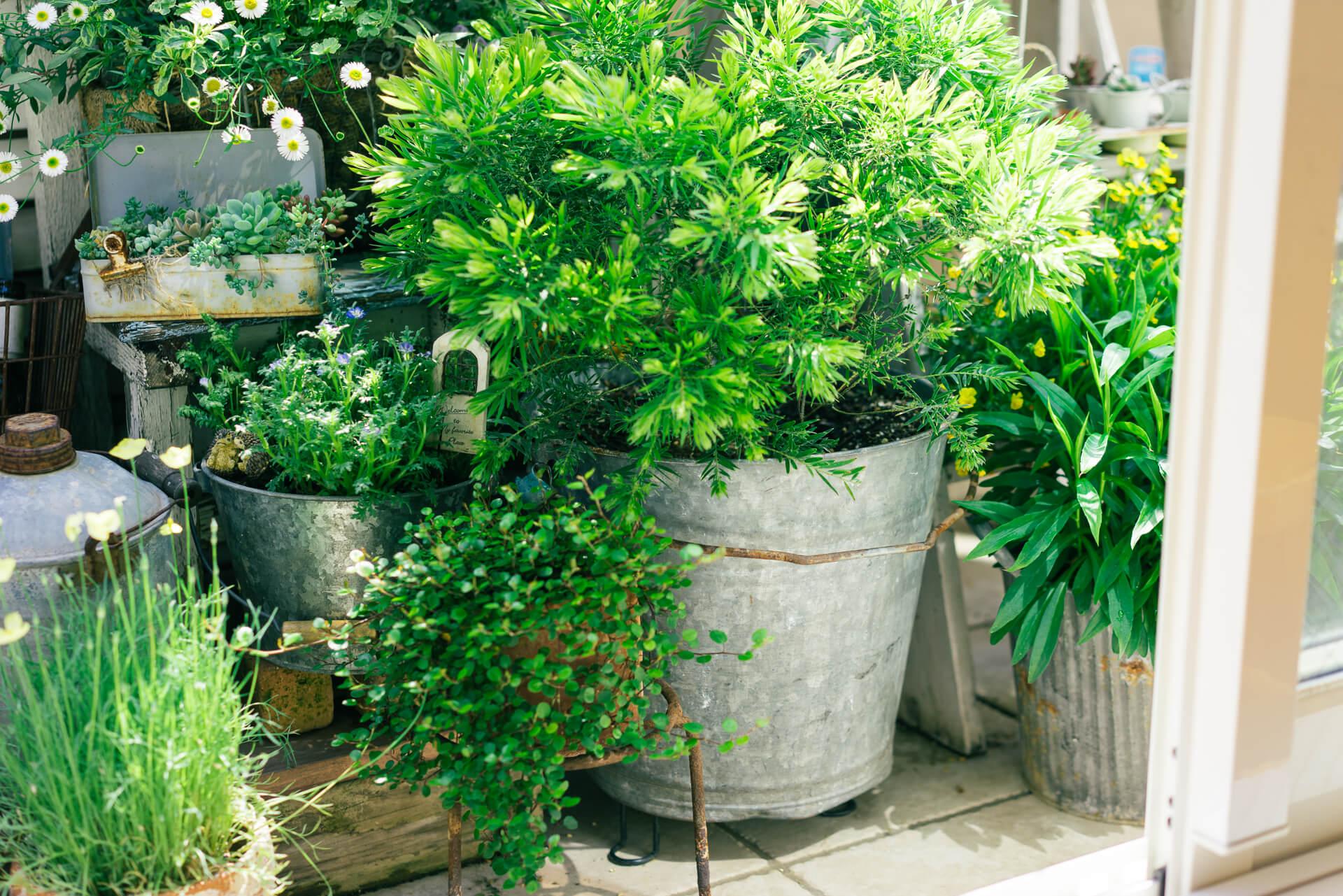 アカシアテレサの植えられた大きなバケツは、おばあちゃんのお家にあったもの。植物用の鉢ではないものも、電動ドリルで穴をあけて上手に活用します。
