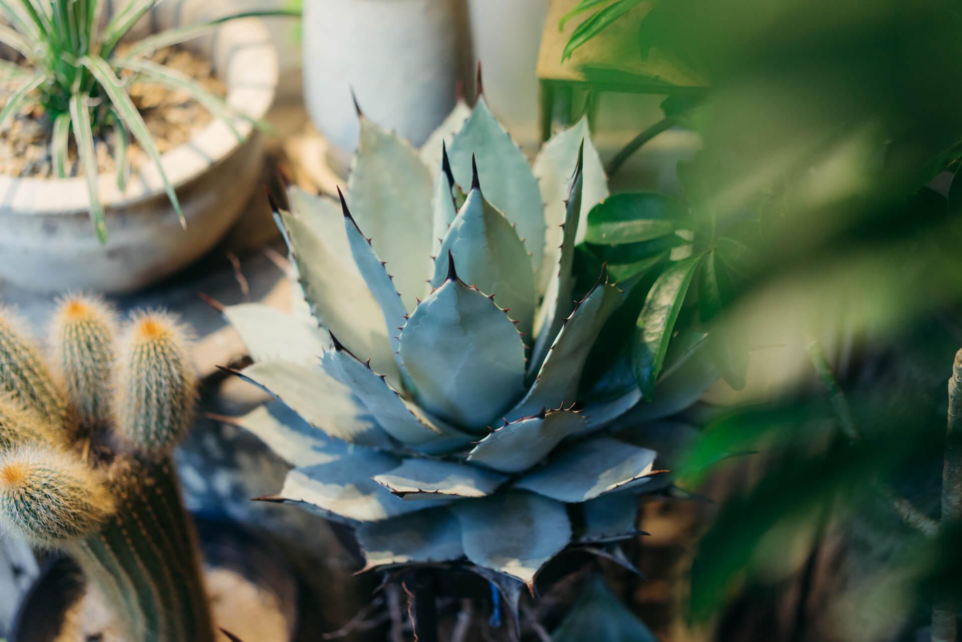 最近人気のある多肉植物、アガベ・パリーもかなりの大きさのものが。