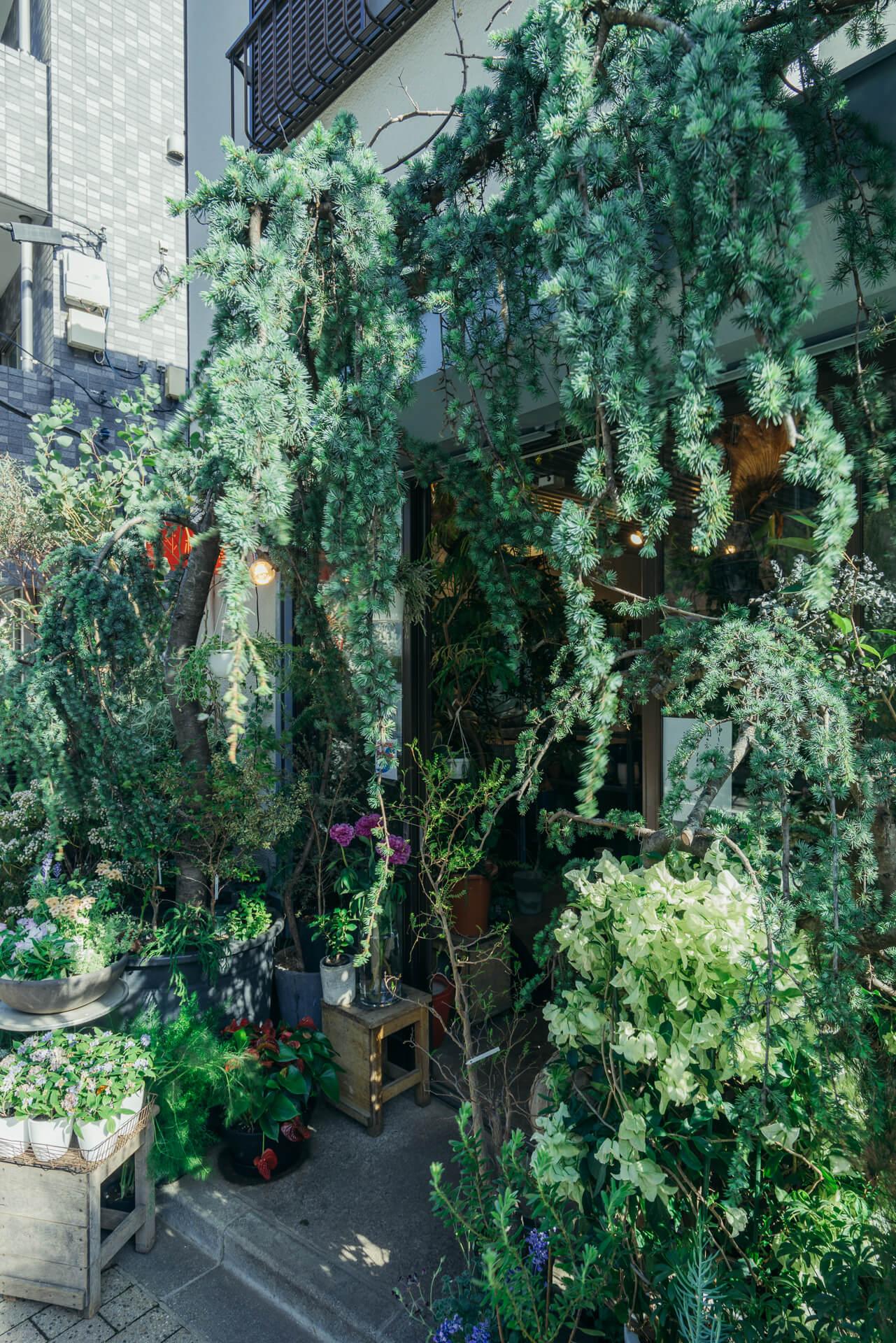 店頭には、お庭に植え込む用の木もたくさん並びます。しだれる姿が印象的な大きな木は、セドラス・アトランティカ・グラウカ・ペンデューラ。この木を見て、「これがほしい」とやってくる方もいる、シンボル的な存在になっています。