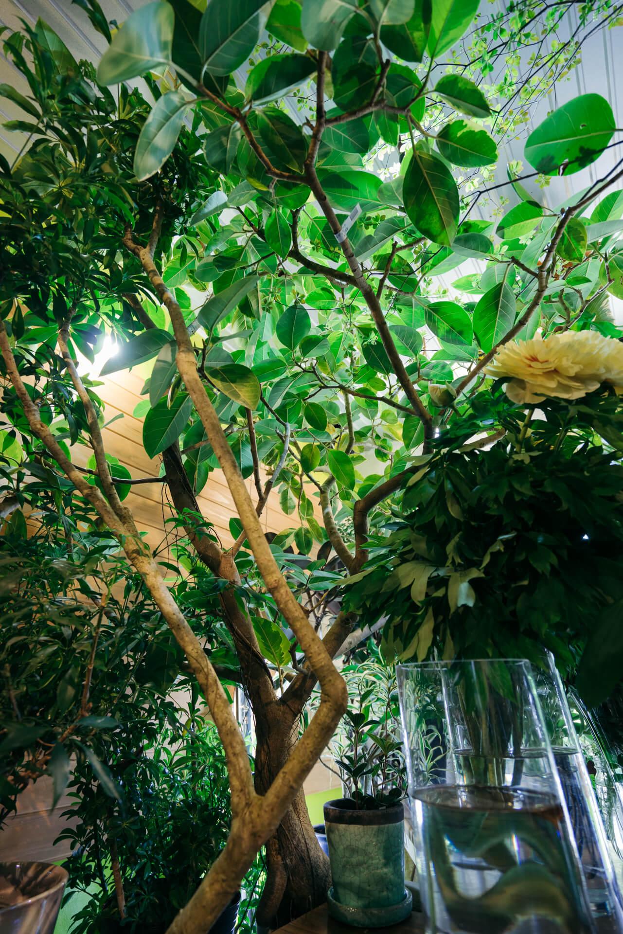 """店内にあるゴムの木ものびのびと茂っています。家にあったら、きっと""""この木と一緒に暮らしている""""感じになるんだろうな。"""