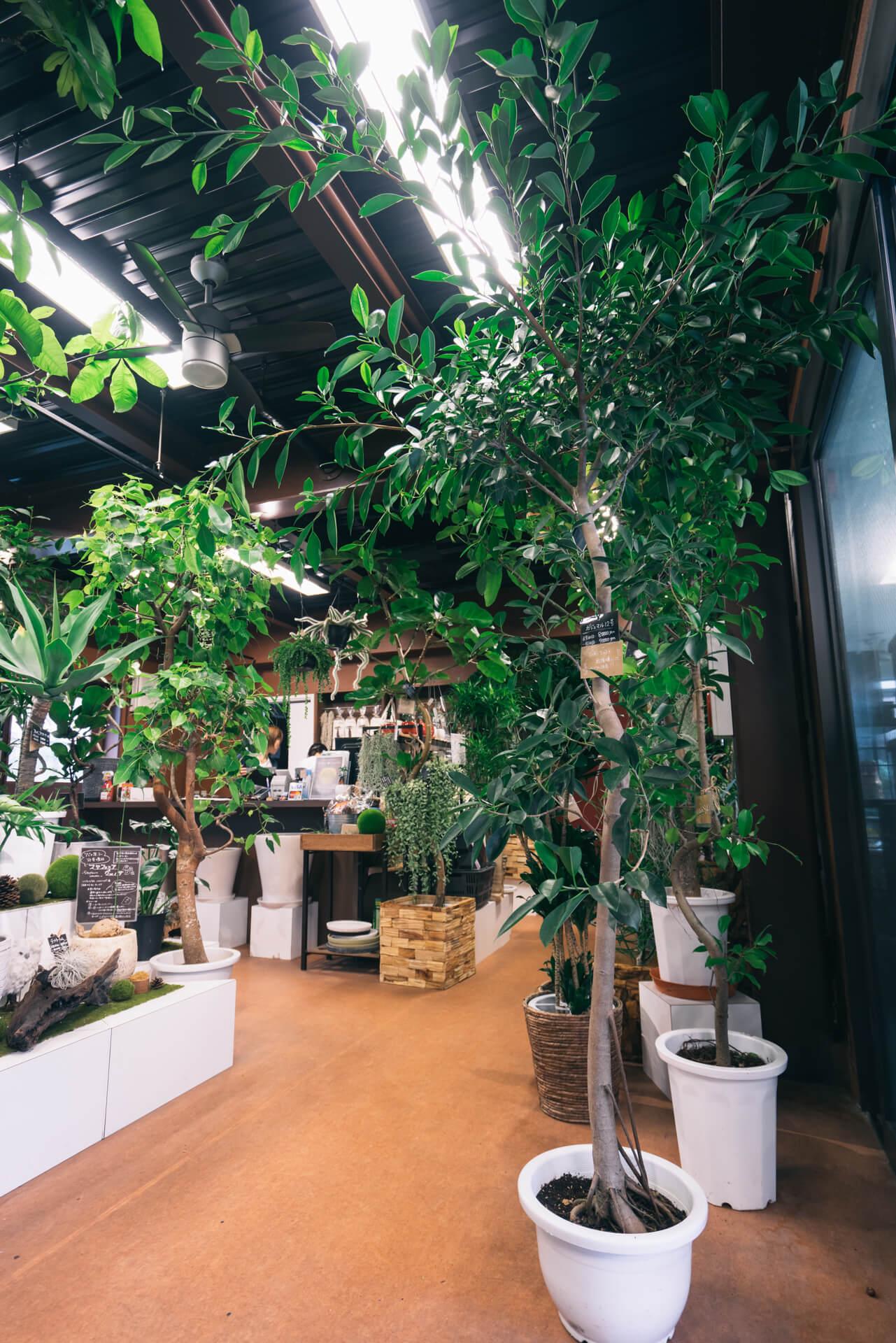 藍さんのお部屋にあったのと同じ、大きなガジュマルの木。「このガジュマルも同じ生産者の人のものですよ」と力石さん。