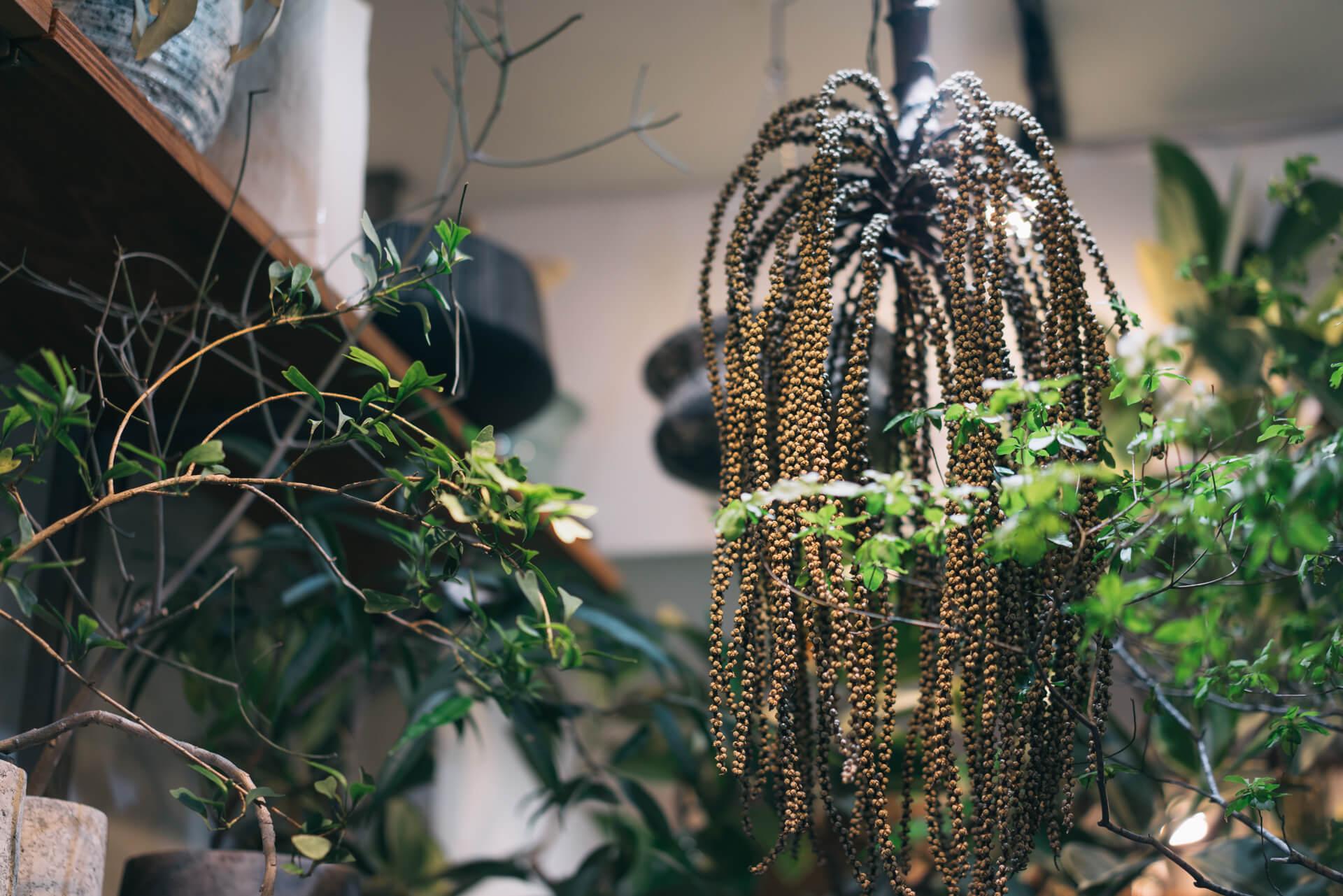 吊り下げられているのはヤシの種。