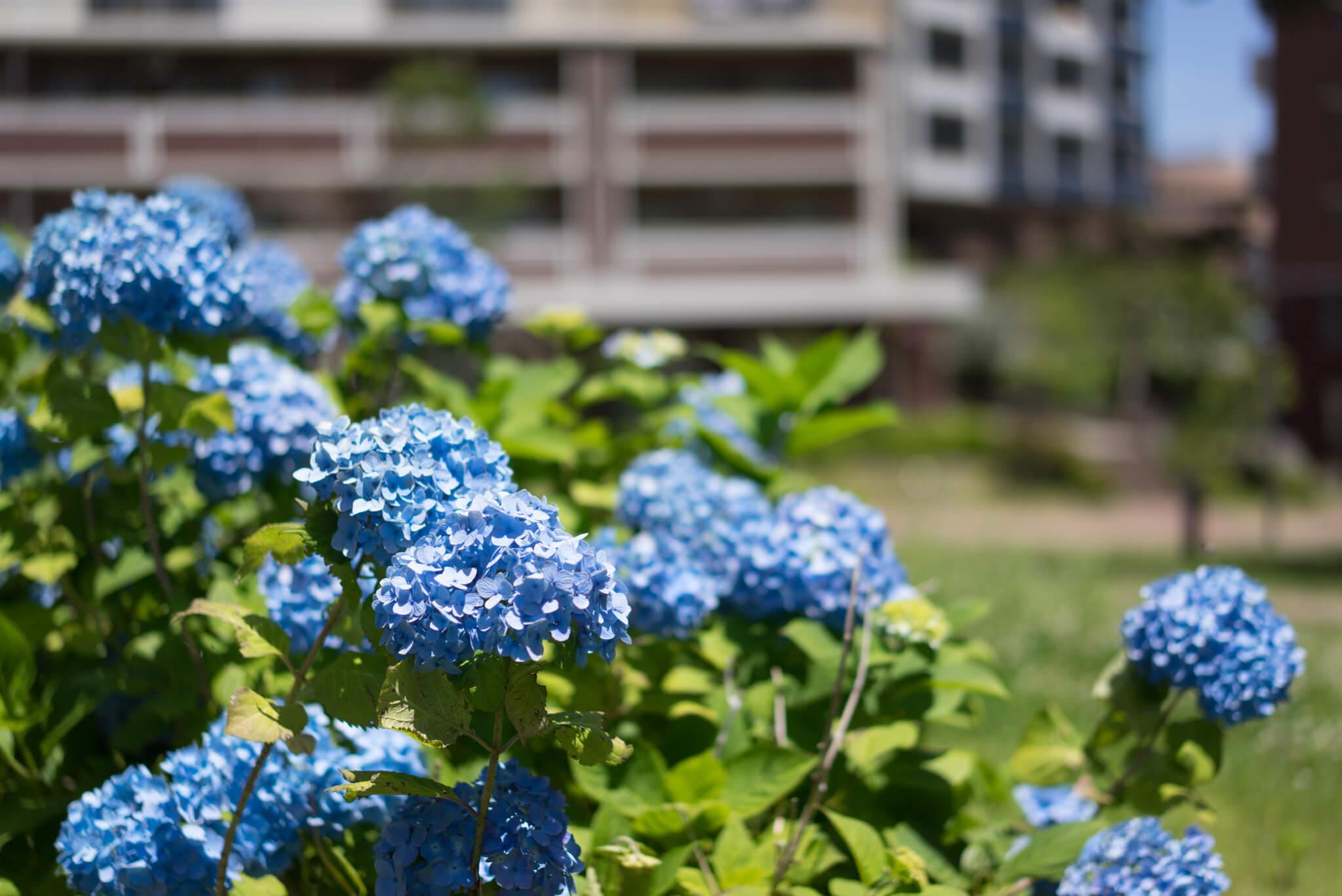 一つ一つの植栽や芝生も、とても綺麗に管理されている印象で嬉しい。取材した時期には紫陽花が満開でした。