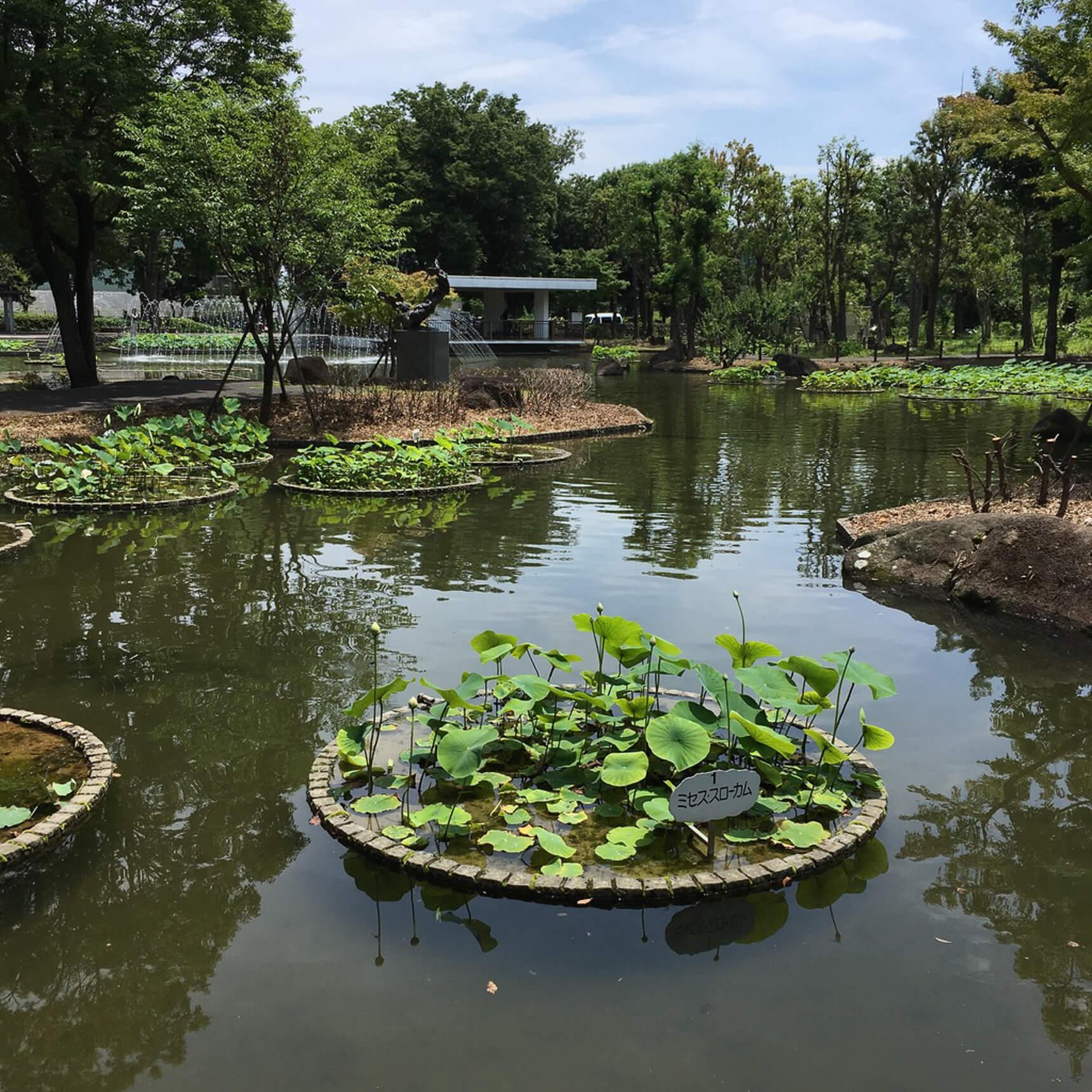 公園内には立派な蓮池が。