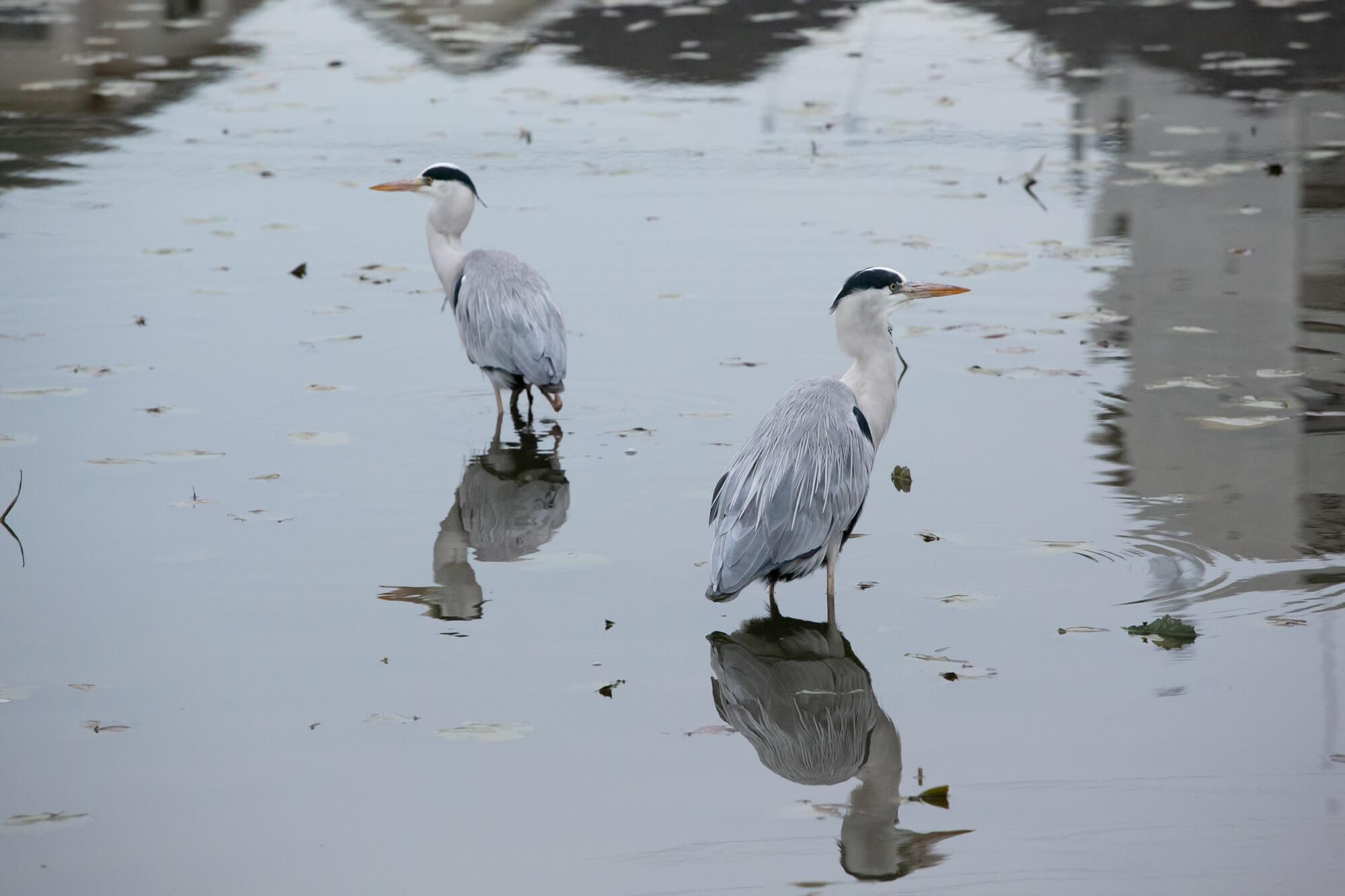 訪れた日には、白鷺が2羽、羽を休めていました。