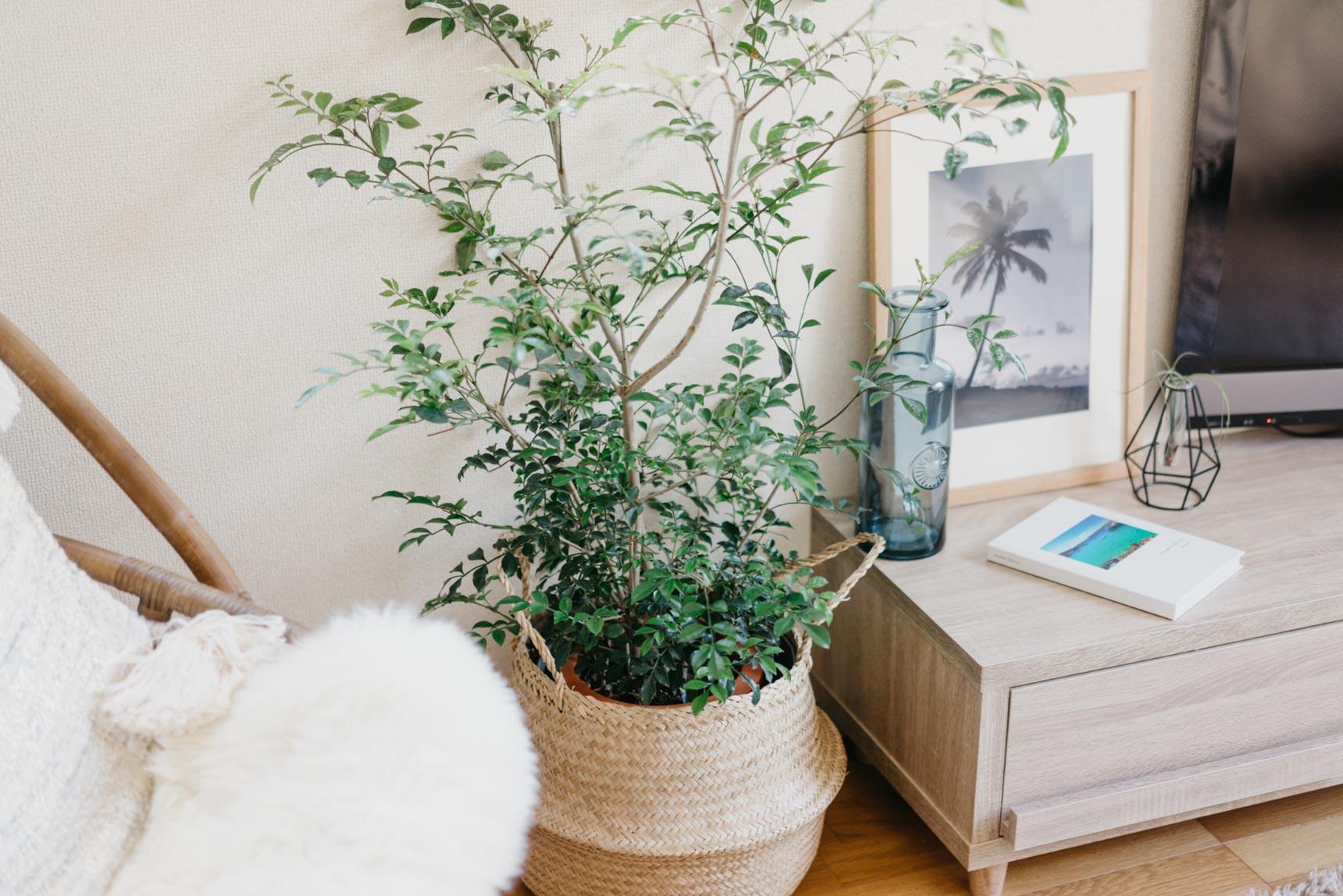 お部屋の随所にも、グリーンが配置されています。これはシマトネリコの木で、お部屋の中でもぐんぐん成長しているそう。