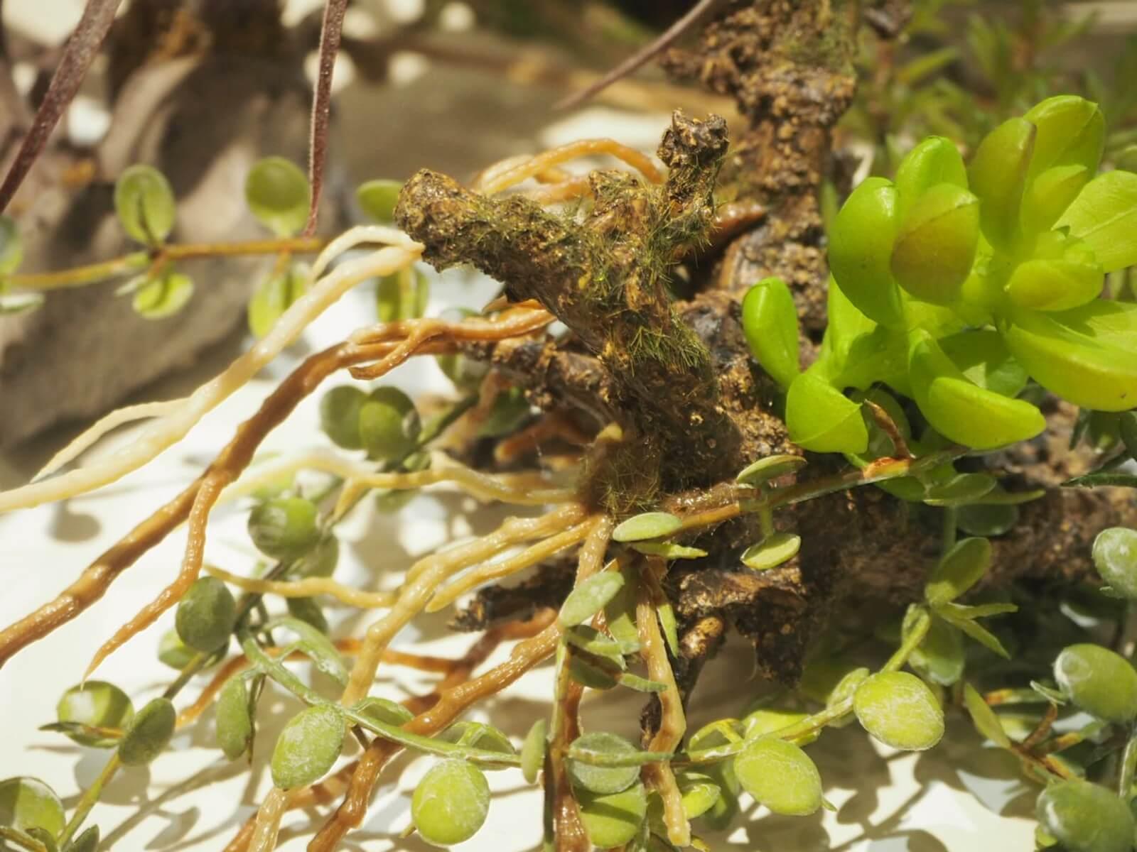 本物では育成の難しい着生植物。葉だけでなく、根まで丁寧に再現されています。