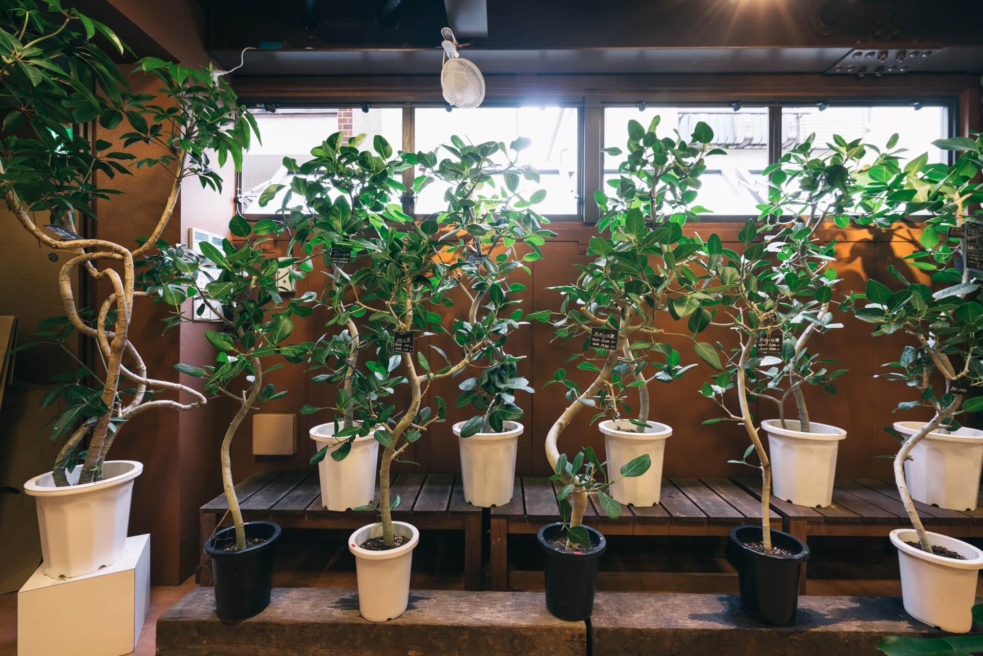 ひとつひとつ、枝の曲がりや葉っぱのつき方を見比べて、気に入ったのものを選ぶことができます。