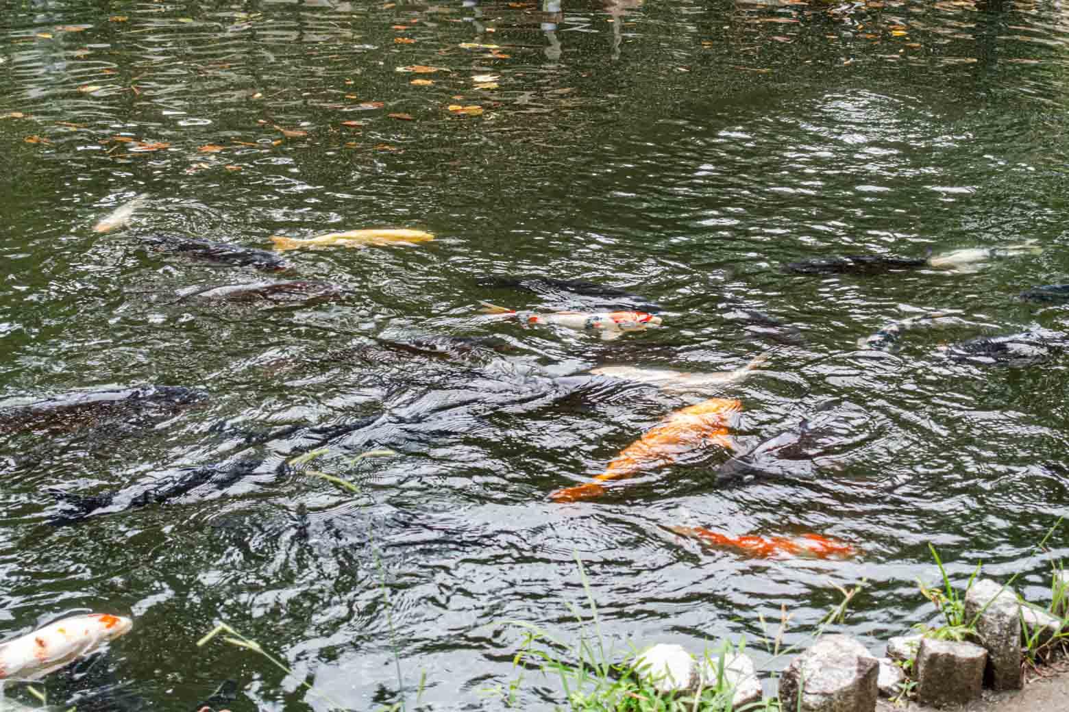 鯉がたくさんいました。写真を見返しているときに気がついたのですが、右下にウルトラマン柄の鯉がいますね。