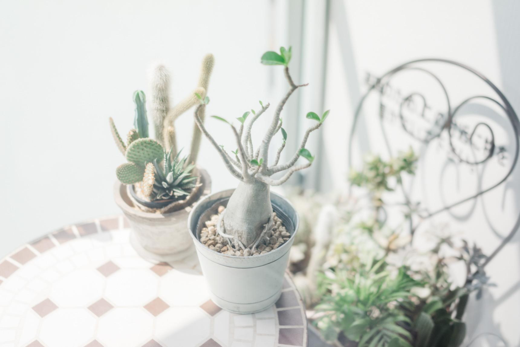 多肉植物は寄せ植えにして、小さな空間でもたくさんの種類のグリーンを楽しみます。
