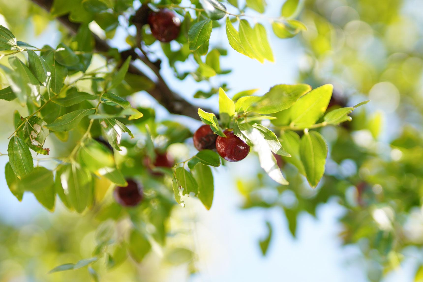 たくさん実がなっている木を見つけました!こちらはナツメの木。