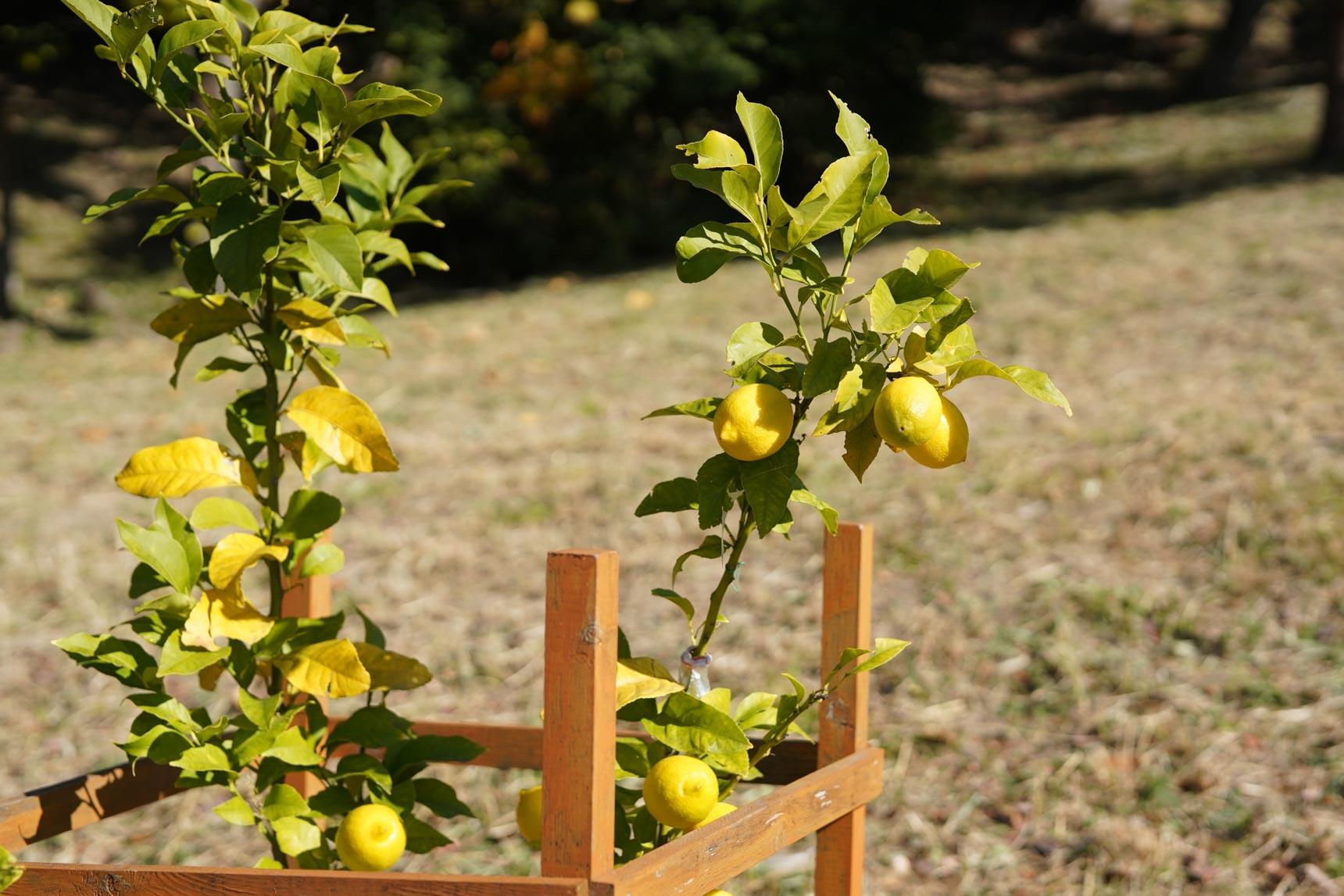 こちらは、泉北ニュータウンまちびらき50周年を記念して敷地内に植えられた「泉北レモン」。このレモンを使って、やまわけキッチンでレモネードが振る舞われたこともあるそうです。