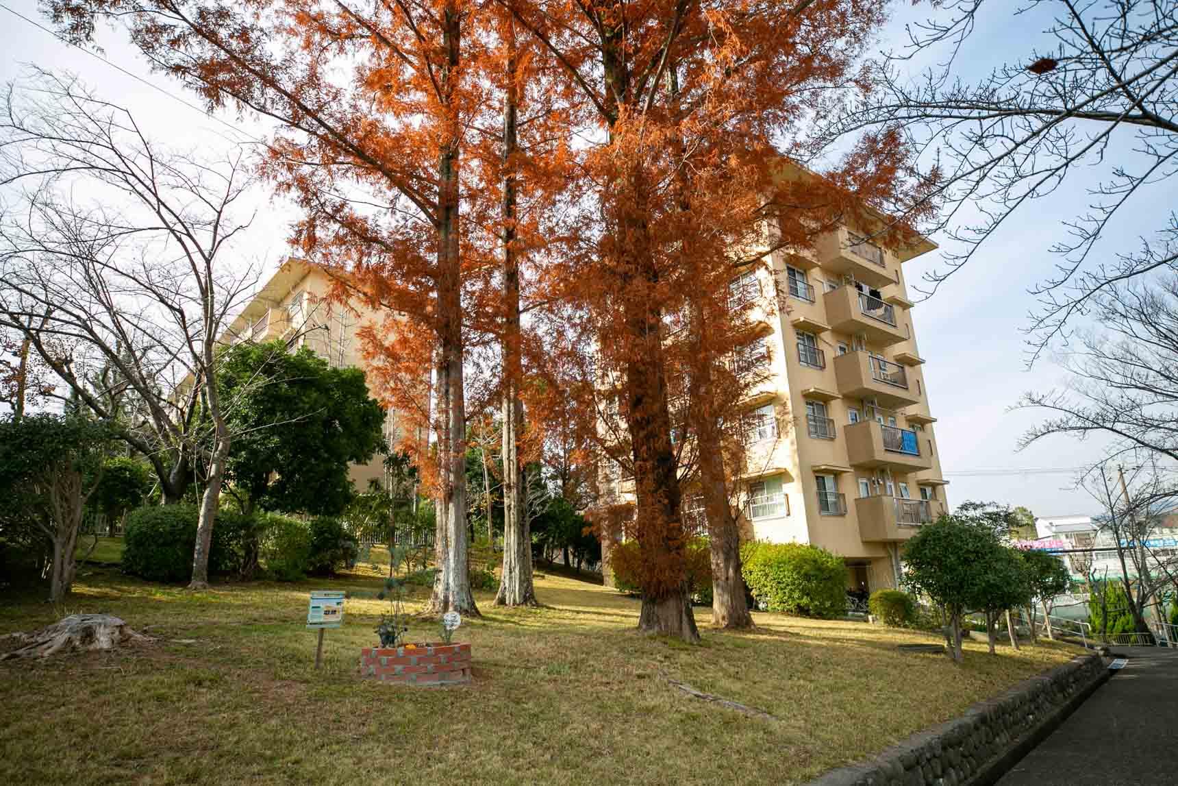 こちらは紅葉が見事なメタセコイアの木。立派ですね。