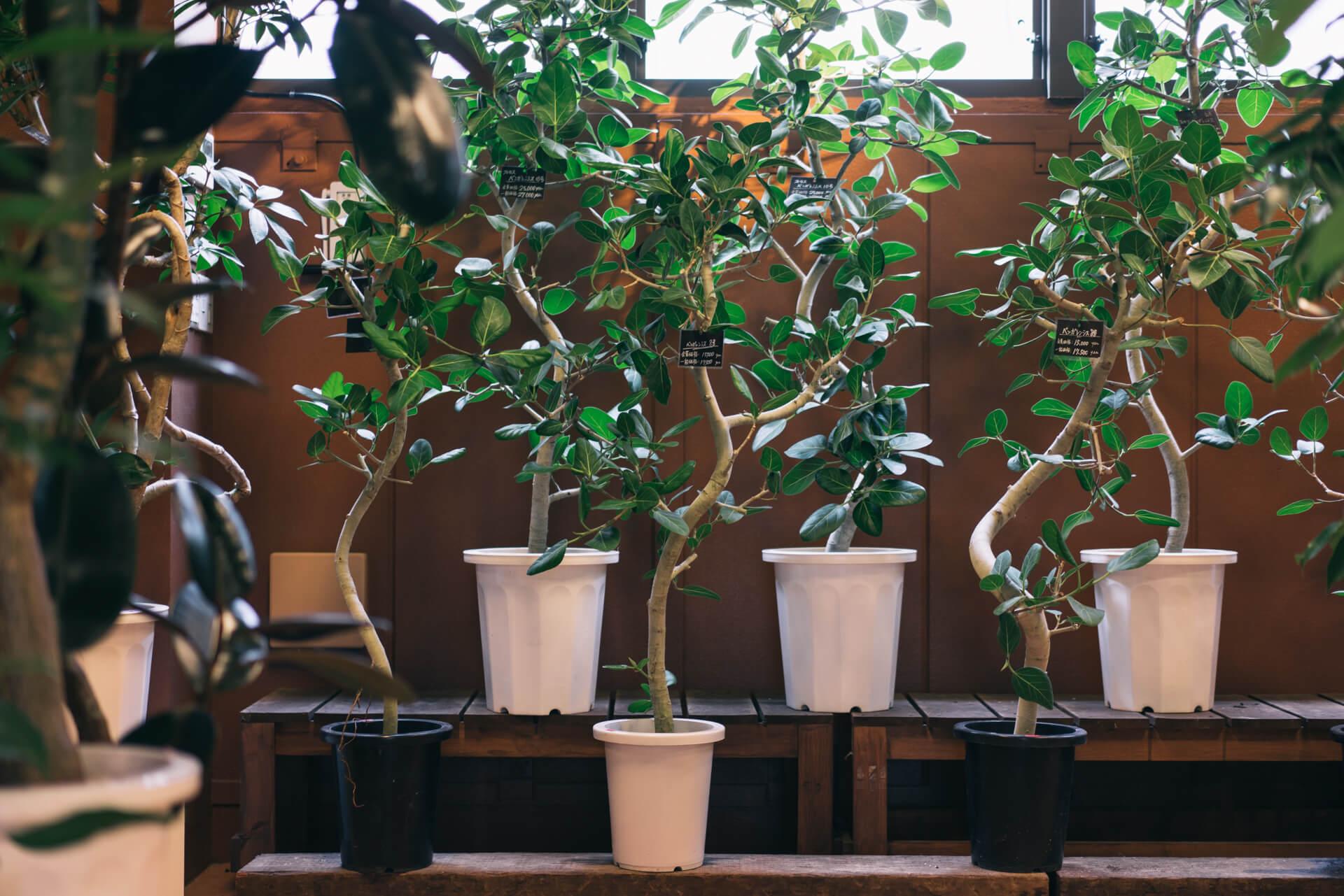 同じベンガレンシスでも、ひとつひとつ、枝の曲がりや葉っぱのつき方を見比べて、気に入ったのものを選ぶことができます。こんなお店、なかなか他にありません。(お店の紹介記事はこちら)