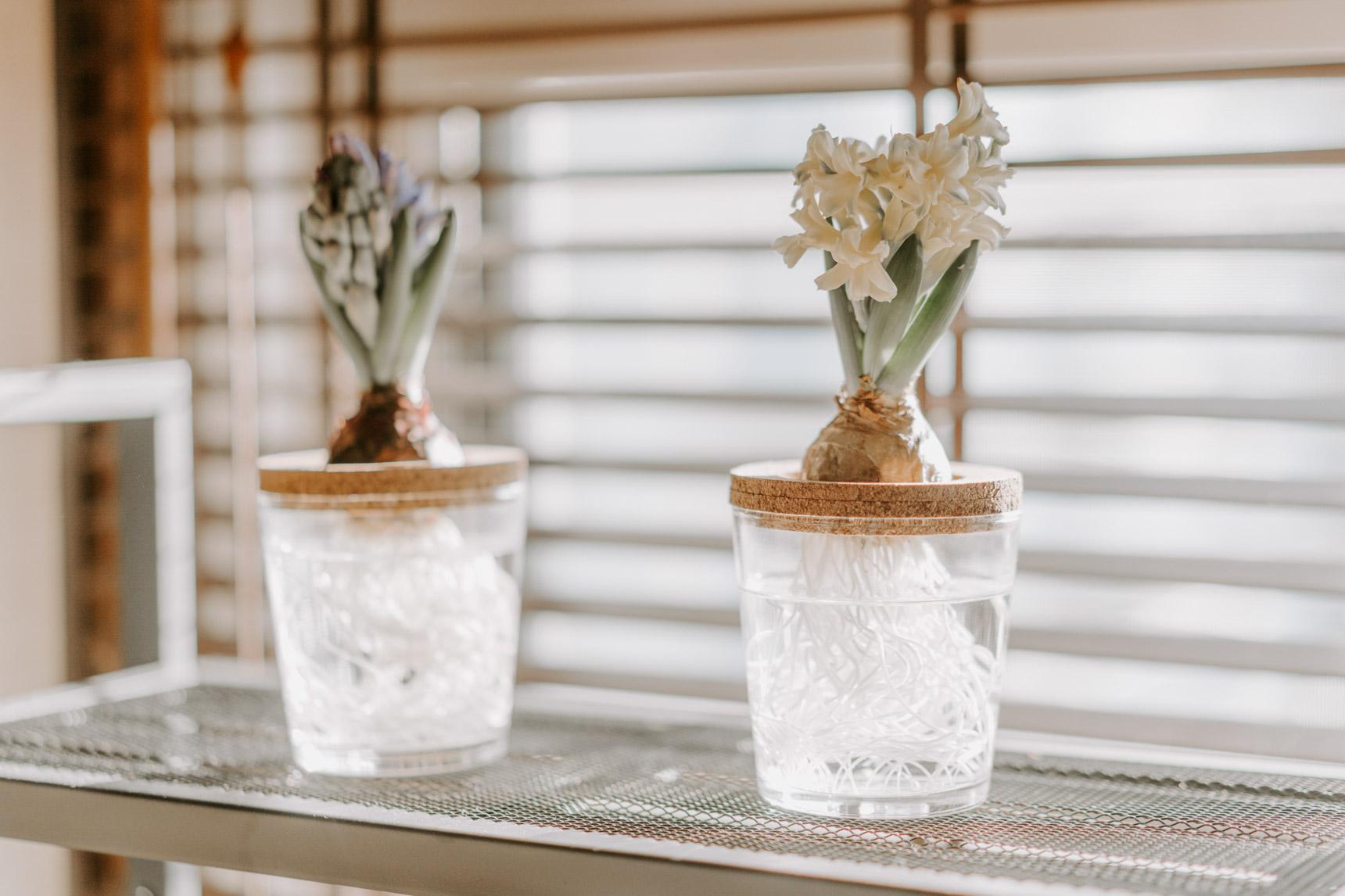 ヒヤシンスの水耕栽培も、コルクのコースターに穴を開け、ガラスのコップに乗せて作ったもの。