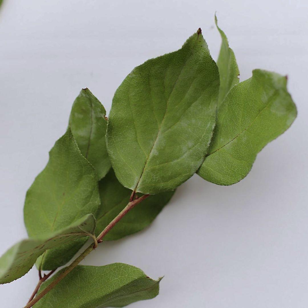 レモンの果実の形に似ていることからこの名が付いた植物。繊細で動きのある葉っぱが多い中、ボリュームや存在感を持たせたいときにおすすめの植物です。