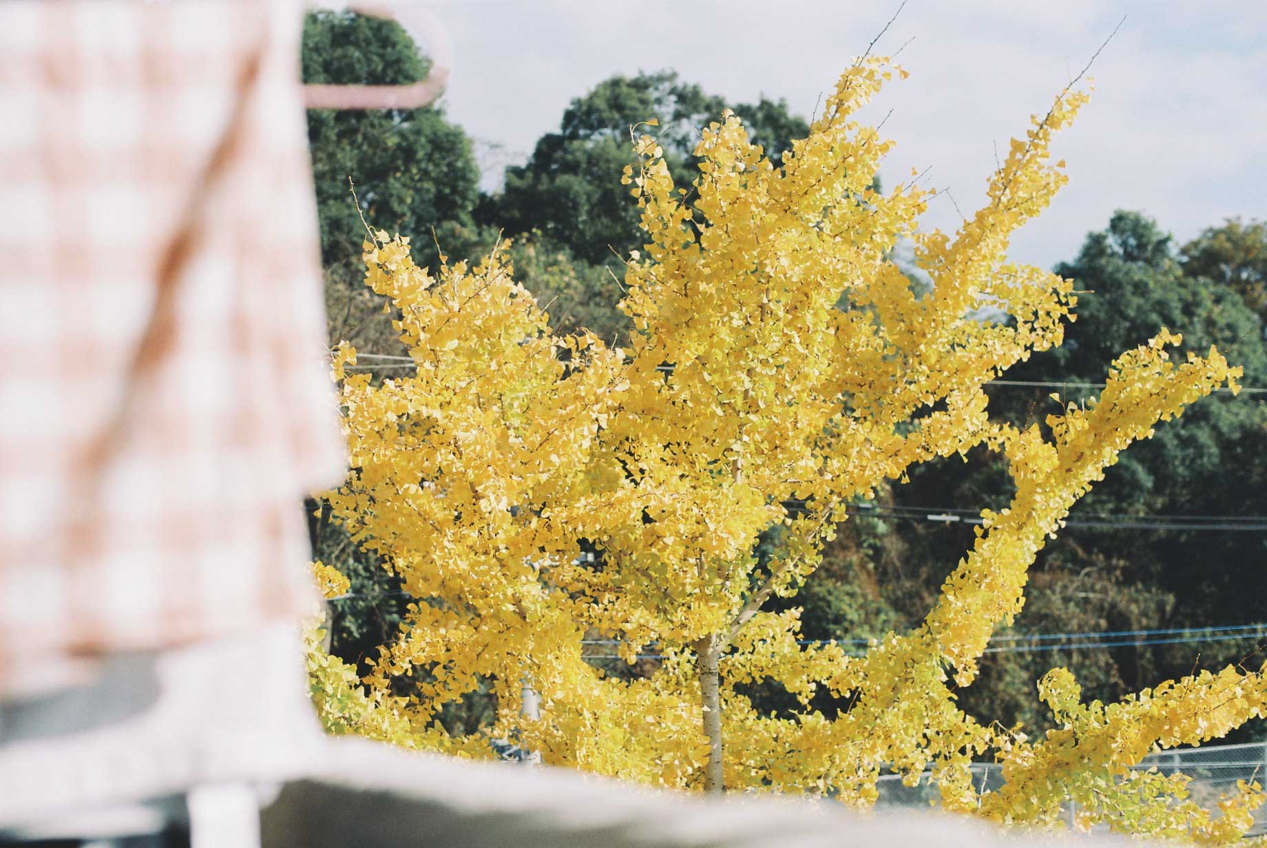 秋にはこんなに見事に色づく銀杏。