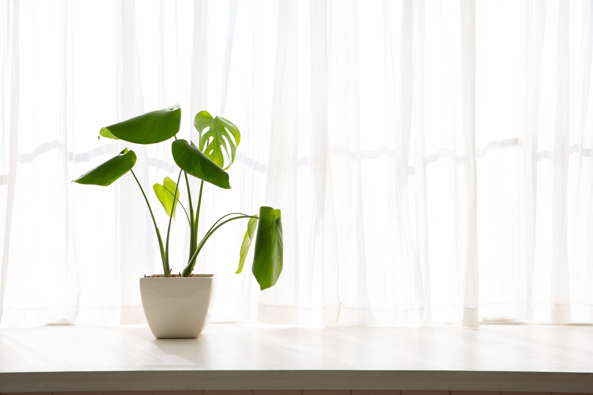 南国を思わせる、ボタニカル柄の中でも代表的な葉っぱを持つ、モンステラ。「モンステラ」といっても、20~40ほどの種類があるので、好みの葉を選ぶと良いでしょう。