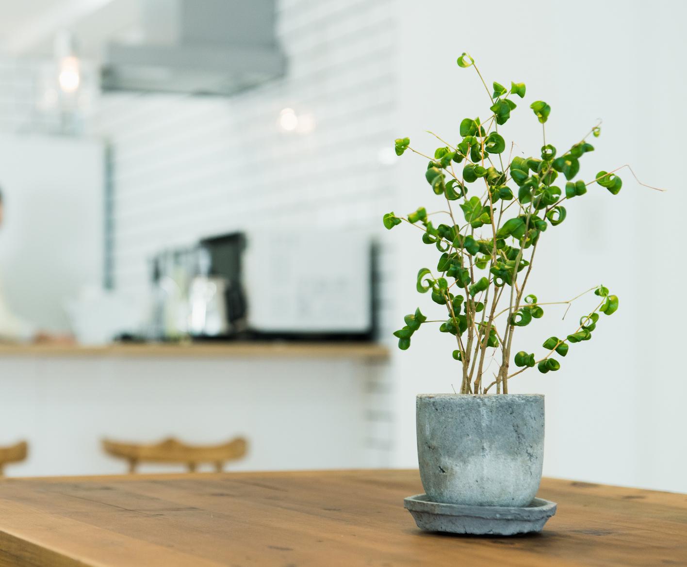 こちらも「フィカス」属の観葉植物。カールした濃い緑色の葉が特徴です。フィカス・ベンジャミンの中でも新しい品種の「バロック」。これから人気が上がりそうですね。
