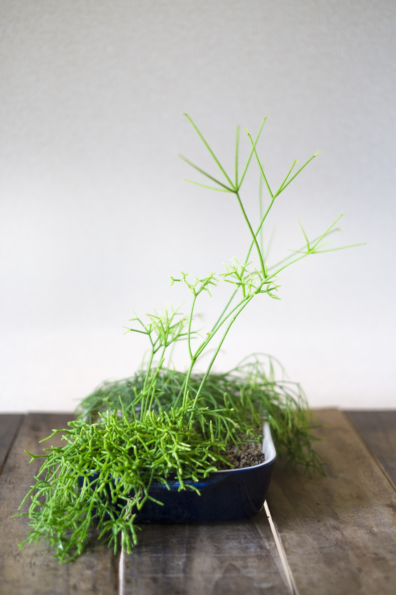 南北アメリカ大陸と、その周辺の島々の乾燥地に分布している観葉植物。一年を通して、風通しの良い、明るい日陰を好みます。細い茎が分布しながら何本も伸び、生育している変わり種。