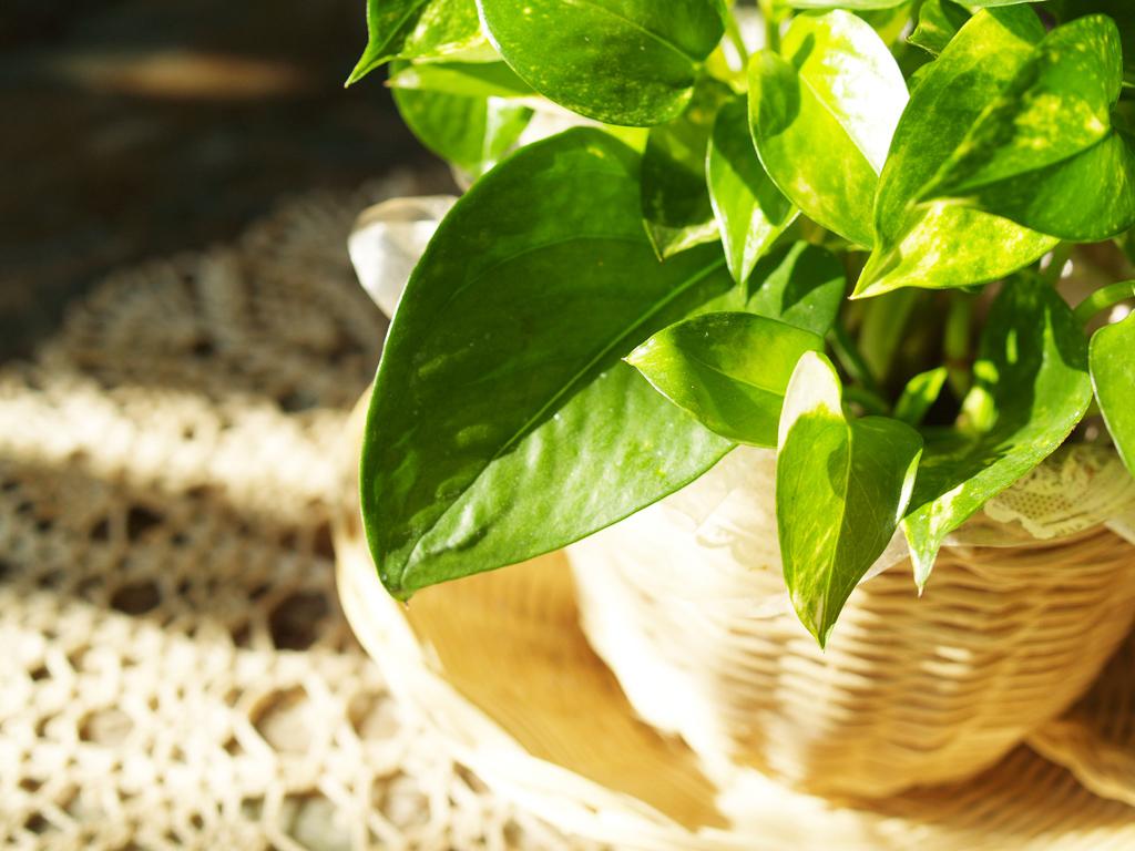 ポトスは耐陰性があり、やさしい陽の光が入る半日陰が適しています。キッチン付近に窓辺がある場所などで育てるのにおすすめです。