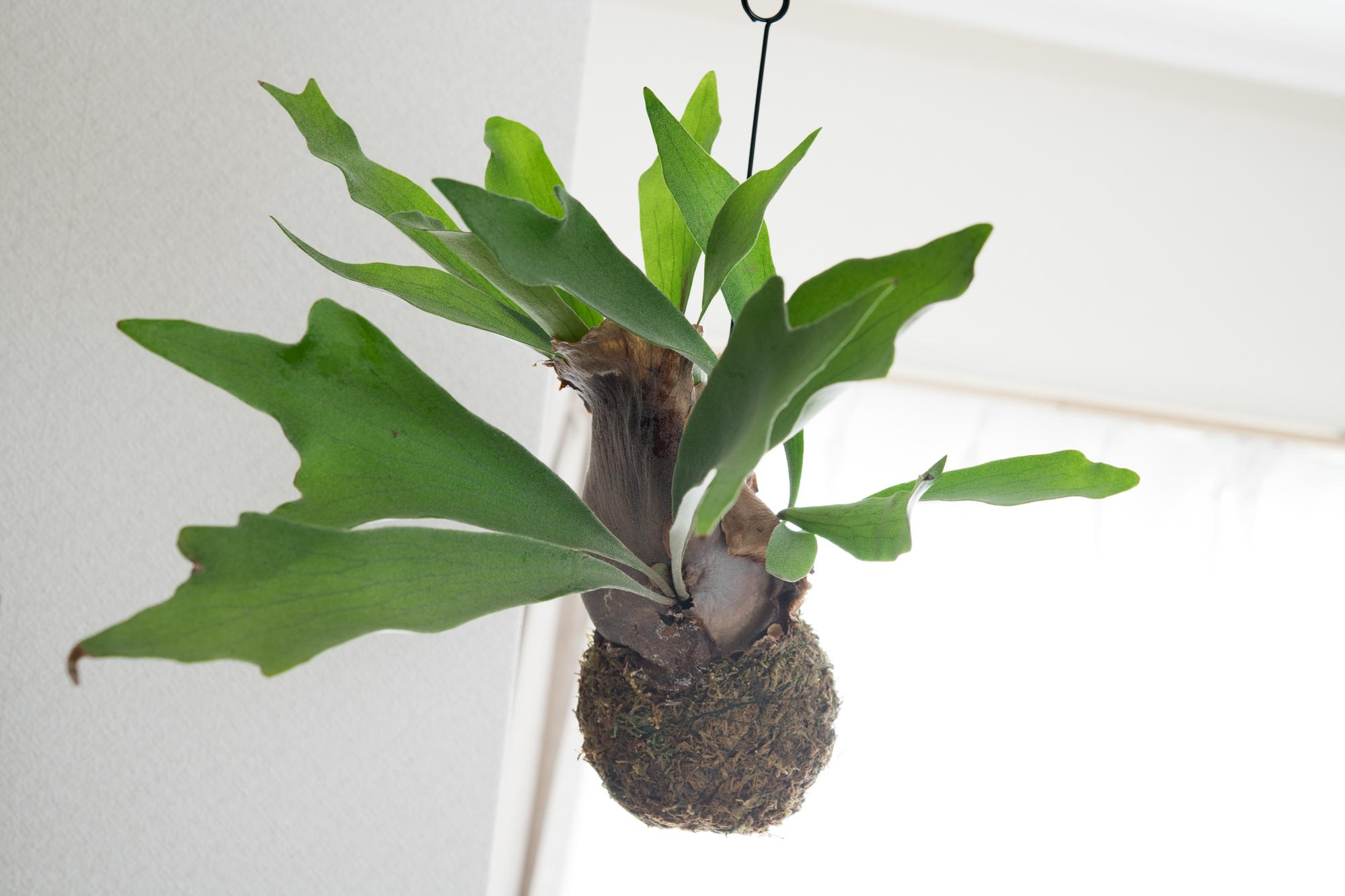 樹木や岩盤に根を張って育つ性質のため、板に張り付けたり吊るして飾るアレンジが可能です。つっぱり棒や、フックを取り付け、吊り下げて飾ると格好良く仕上がりますね。