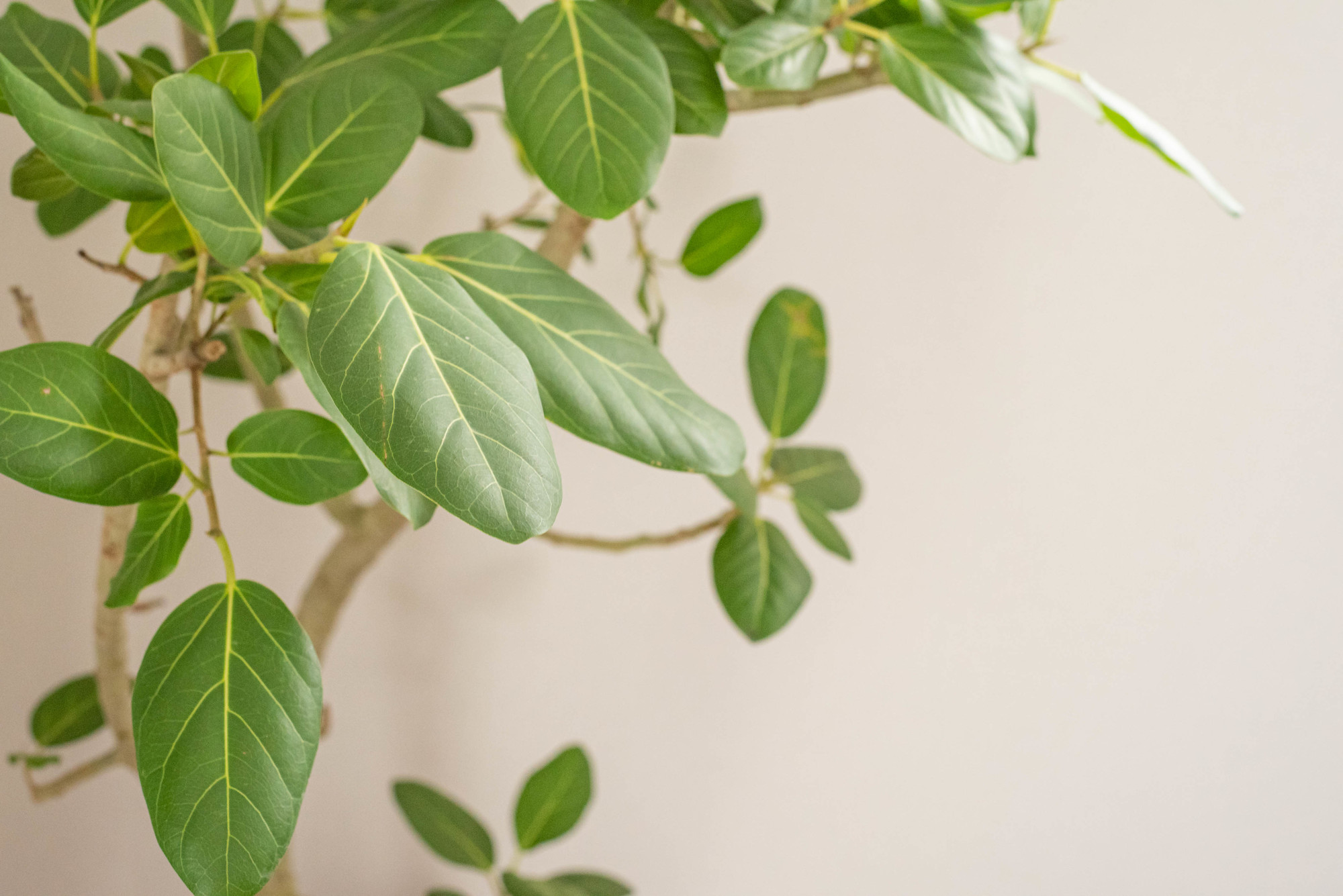 緑色のたまご型の葉、白けた幹と枝が特徴で、どんなお部屋にも合うことも人気の理由のひとつ。耐陰性はありますが、できるだけ日当たりが良く、10℃以上の部屋で育てるのが良さそうです。