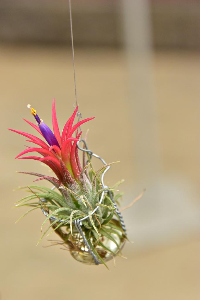 葉先が赤や黄色に染まってきたら開花が近い、ということ。うまく育てていくと色鮮やかな花が咲き、しかも花を咲かせるのは一生に一度だけ。グリーンだけでなくカラフルさを求めている方にはおすすめです。