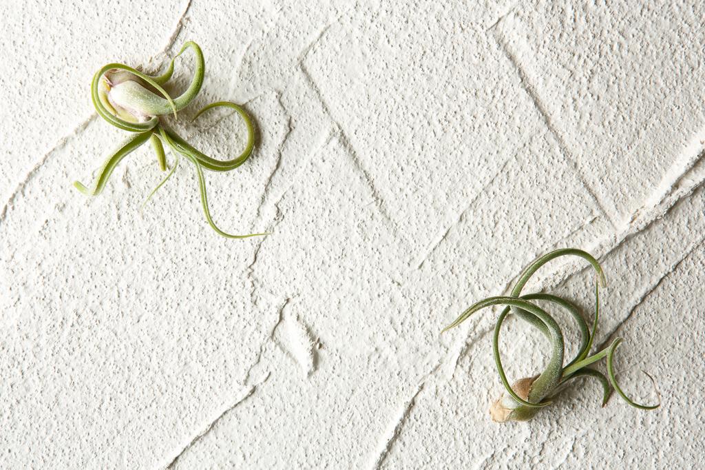 ギリシャ神話に出てくるメデューサにちなんで名づけられたエアプランツ。草姿がつぼ型のため、水やりの後に蒸らさないようにするなど、注意が必要です。