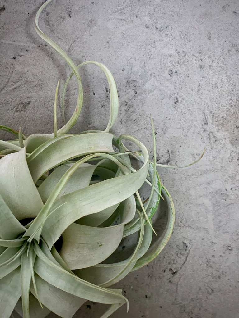 チランジア(エアプランツ)の王様ともいわれる種。シルバーグリーンのカールした葉をもっています。ニトリのフェイクグリーンでもおなじみですね。