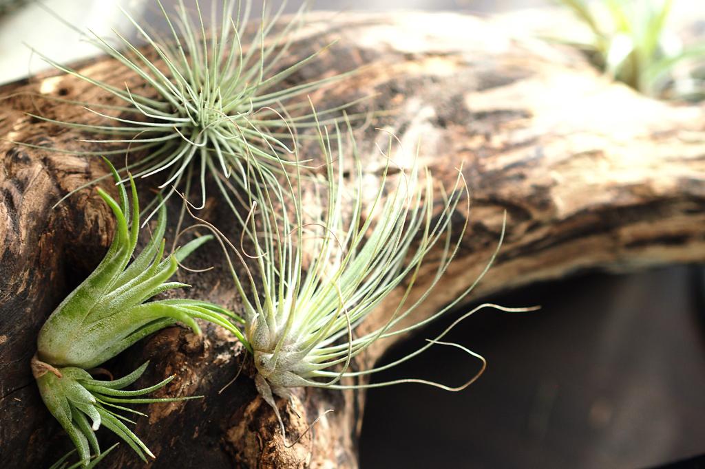ドライバーで流木に穴を開け、ワイヤーをエアプランツの根元付近に引っ掛けます。ワイヤーを穴に通し、流木に固定させればOK。湿度を好むタイプ(緑葉種)のエアプランツには、根元にミズゴケを巻くと、元気に育ちます。