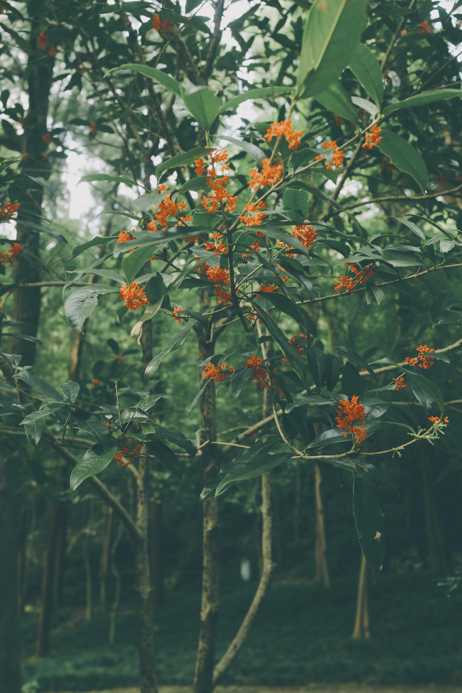 お部屋に飾るというよりも、道端や公園で、その香りから秋を感じる植物。香りの強い花をつけることから、三大香木(さんだいこうぼく)と言われます。