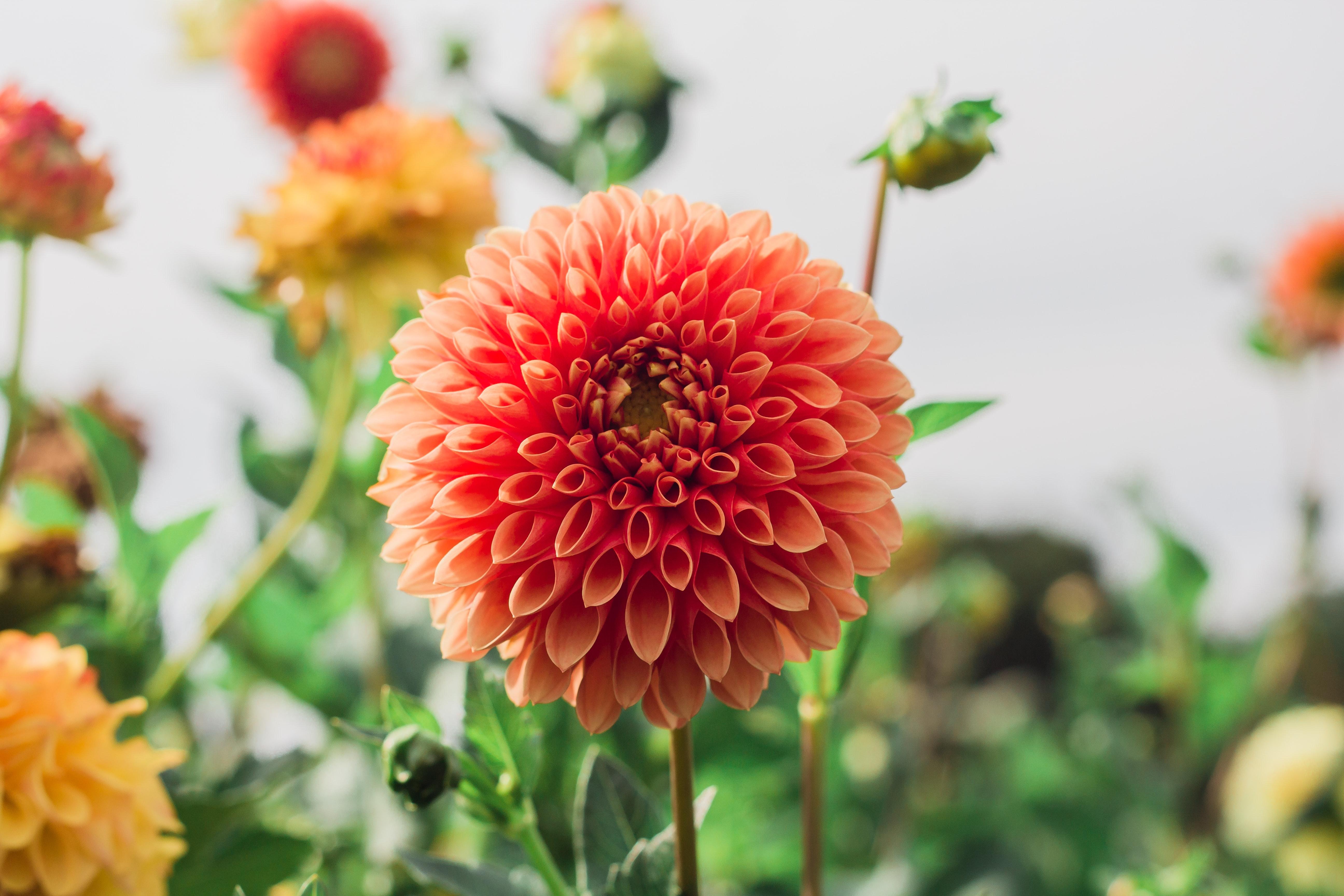 存在感と迫力抜群のダリアは、華やかで艶やか。1輪だけでも、飾るだけでインパクトがあるお花です。大輪のものになると、顔の大きさ程になるほど、大きさは様々。