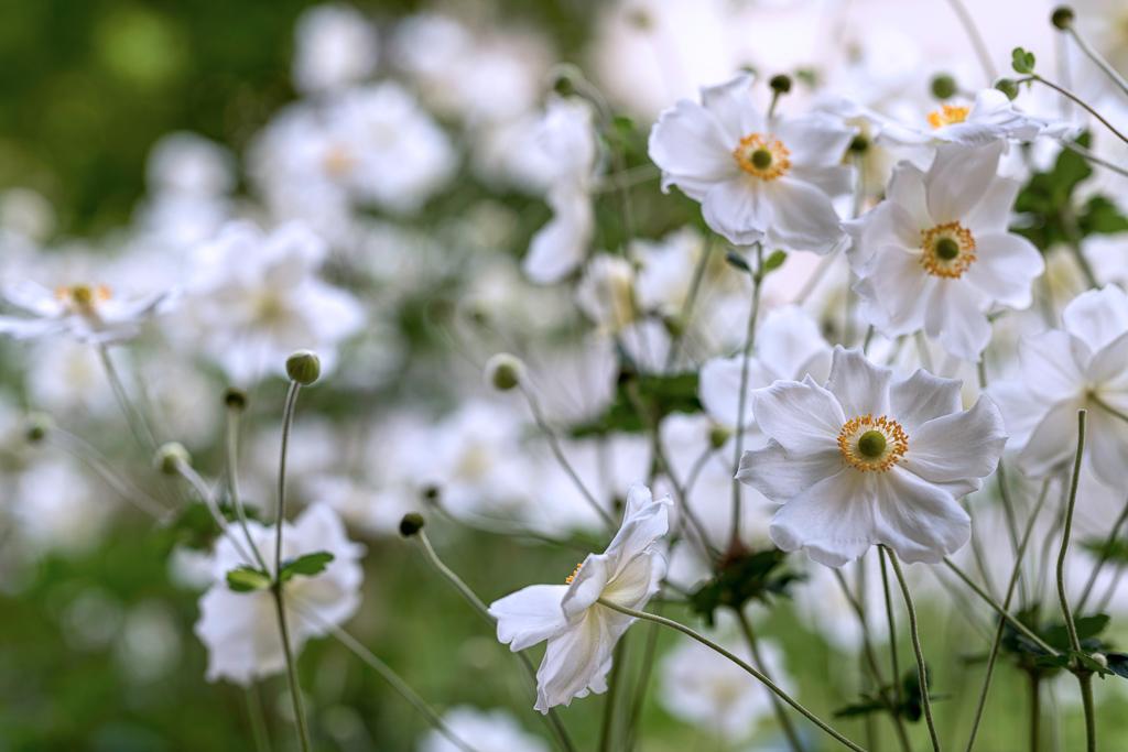 名前の一部に「菊」が入っていますが、実はアネモネの仲間で、英語では「ジャパニーズアネモネ(Japanese anemone)」と呼ばれます。コスモス同様、花束に入れたときに動きが出る、丸いつぼみもかわいらしいお花です。