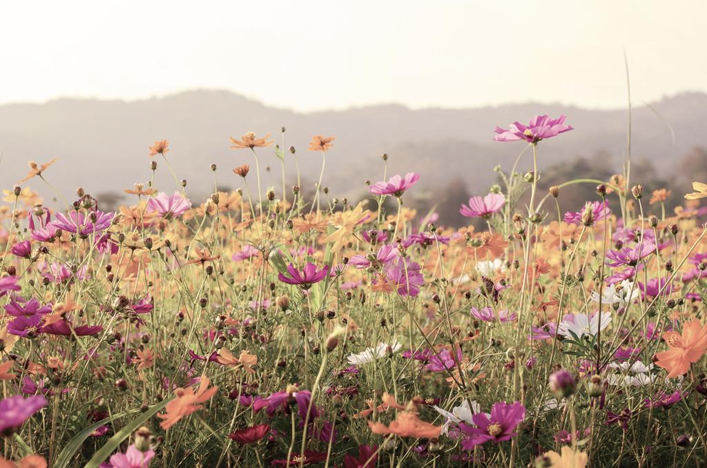 言うまでもなく、秋を代表するお花の一つであるコスモス。茎が繊細で、花束に束ねたときにも、そよそよと風に揺れるような動きが出ます。