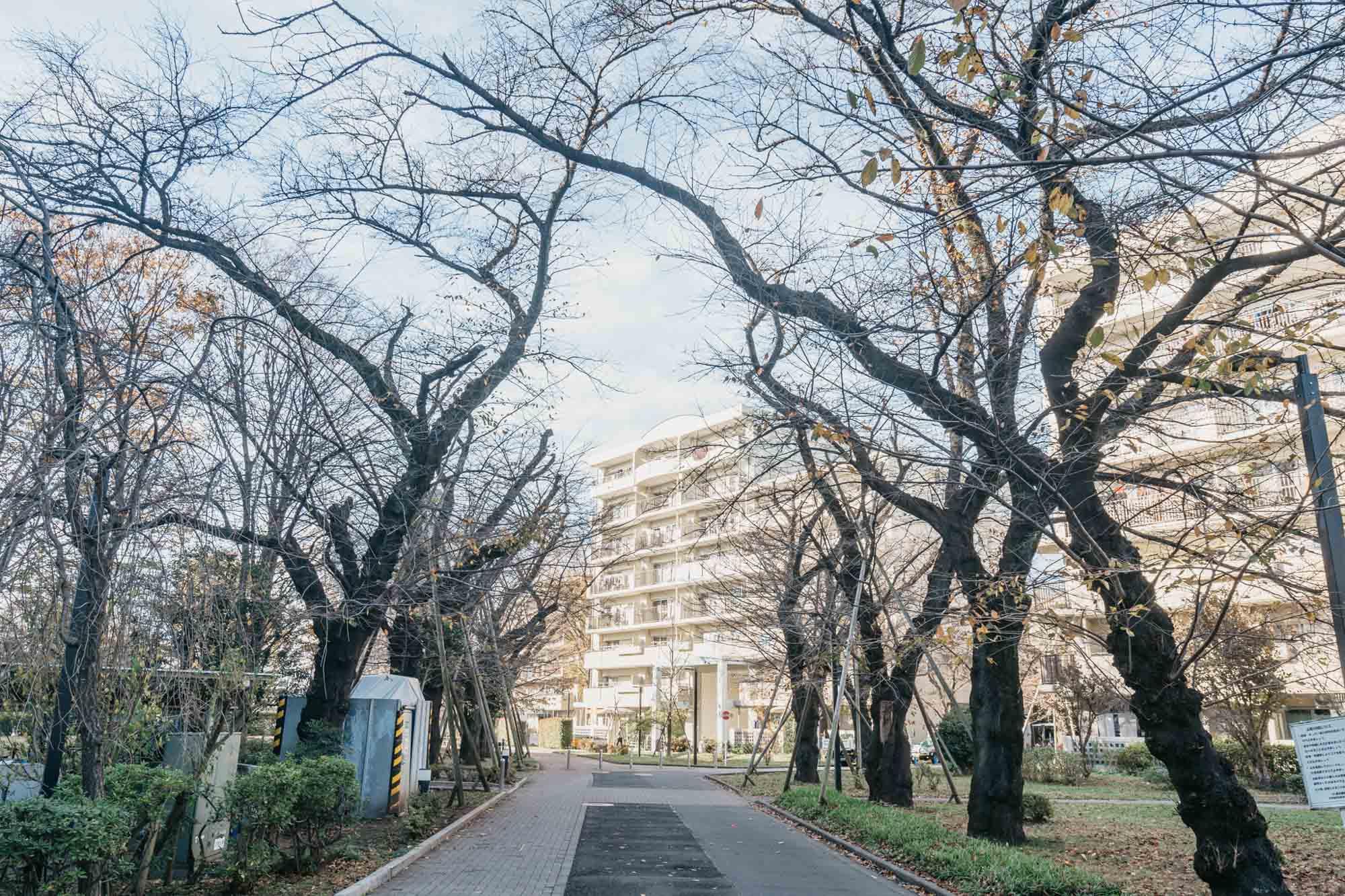 たしかに、敷地内や、団地の前の道にも桜の木がたくさん!自然と上を見上げながら歩いてしまう、気持ちの良い並木道です。