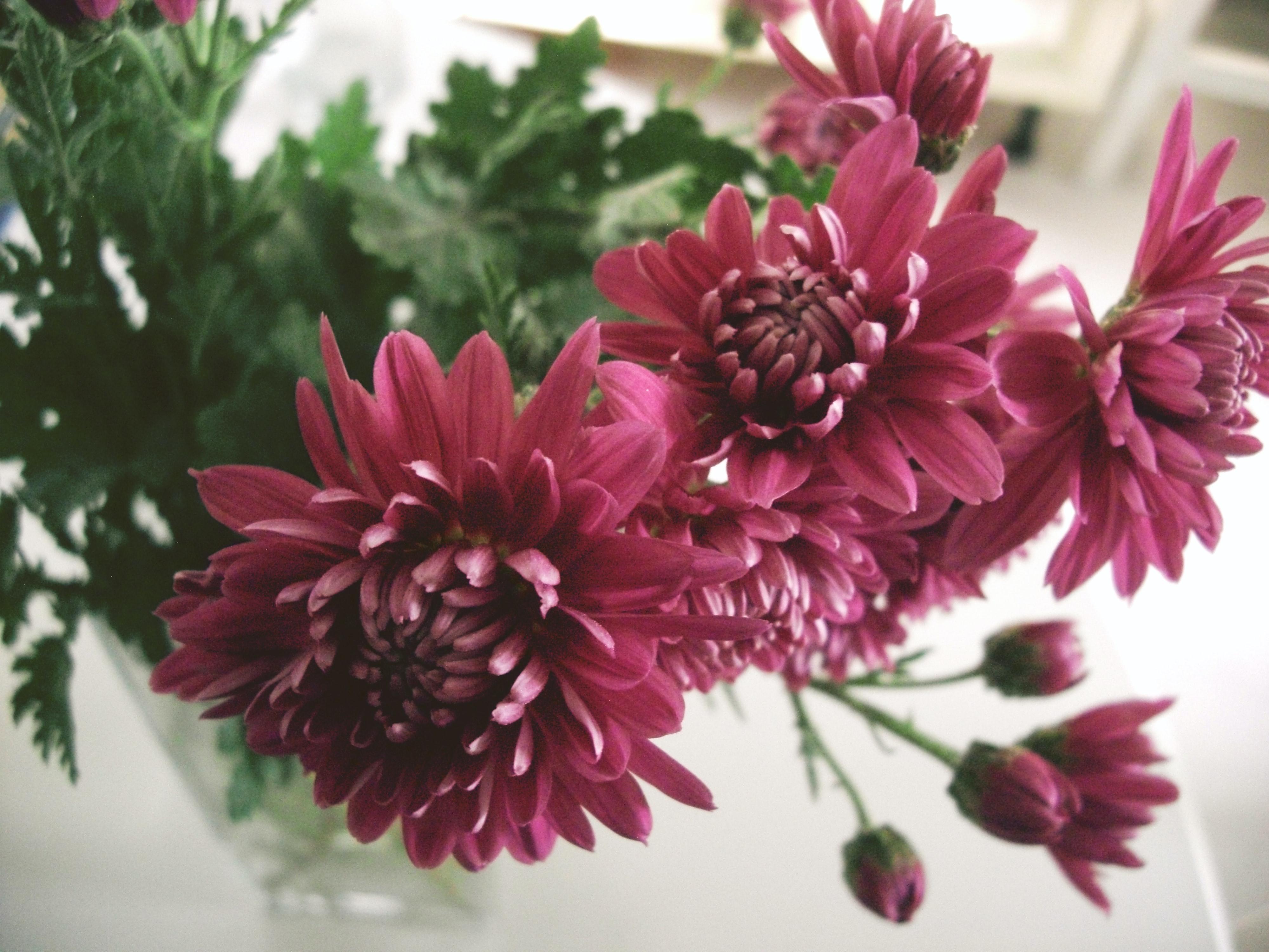 菊は花もちが良いのも特徴。ただし衝撃に弱いお花で、物に当たると一気に花びらが落ちてしまうことも。飾る場所には注意が必要です。