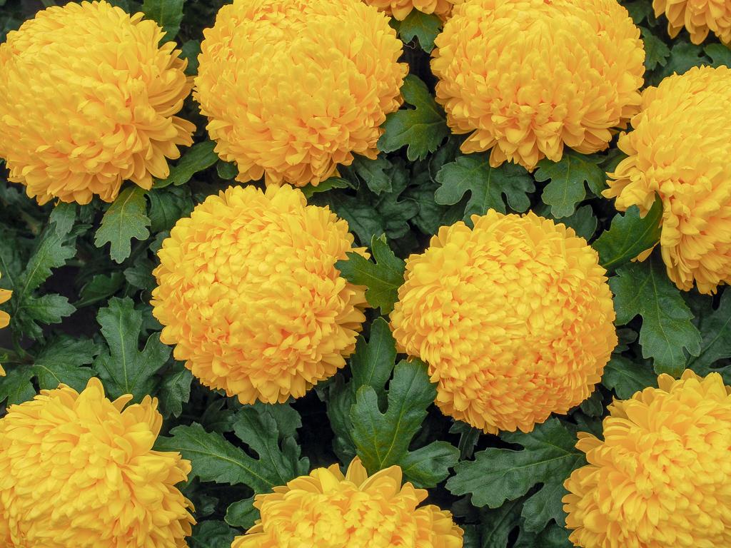 お正月のアレンジ花としても利用されることの多い、菊の花。原産地は中国で、不老長寿の薬草として使われていたこともあり、日本に渡ってきてからも長寿を祈願する、演技の良い花と考えられるようになりました。