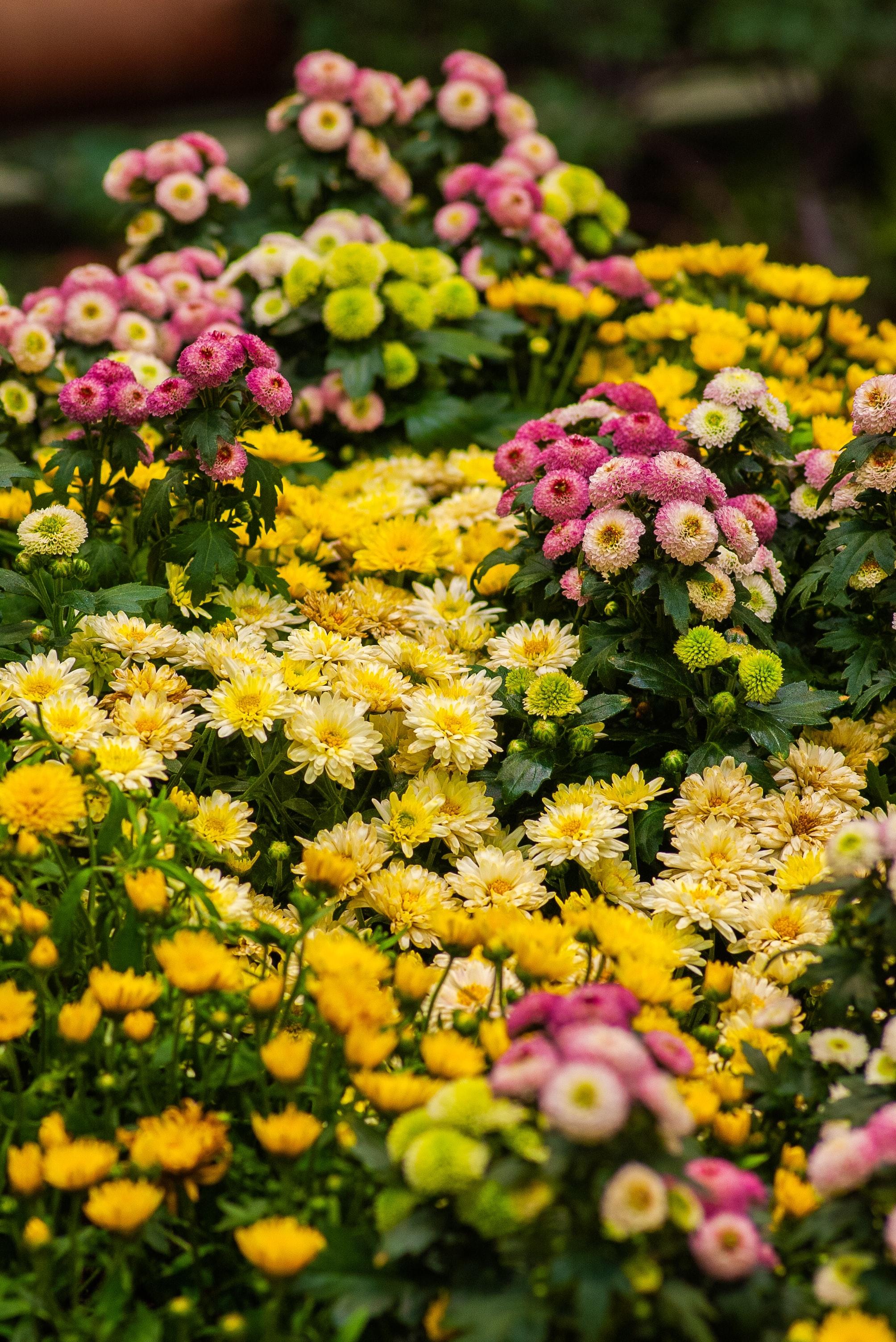 お正月や神仏へのお供えのお花、というイメージは根強くありますが、ヨーロッパでの品種改良が進んでおり、今では2,000種を超えます。普段づかい出来るものや、お祝いのシーンにぴったりな華やかなものまで。本当に様々です。