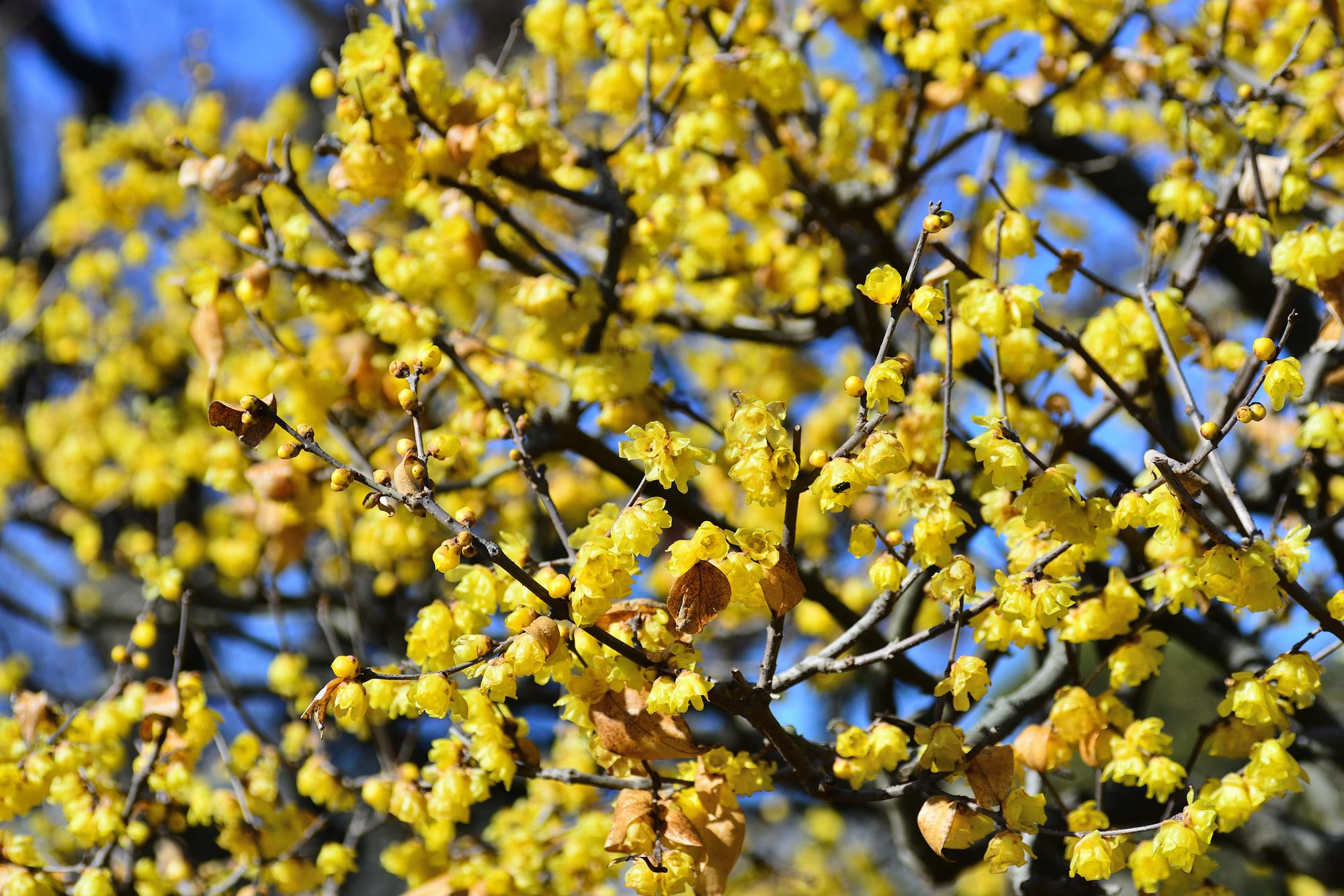蝋梅(ろうばい)は、梅よりも早く春を告げる花。黄色という色合いも、富みや豊穣を表す色として、縁起が良いものとされてきました。