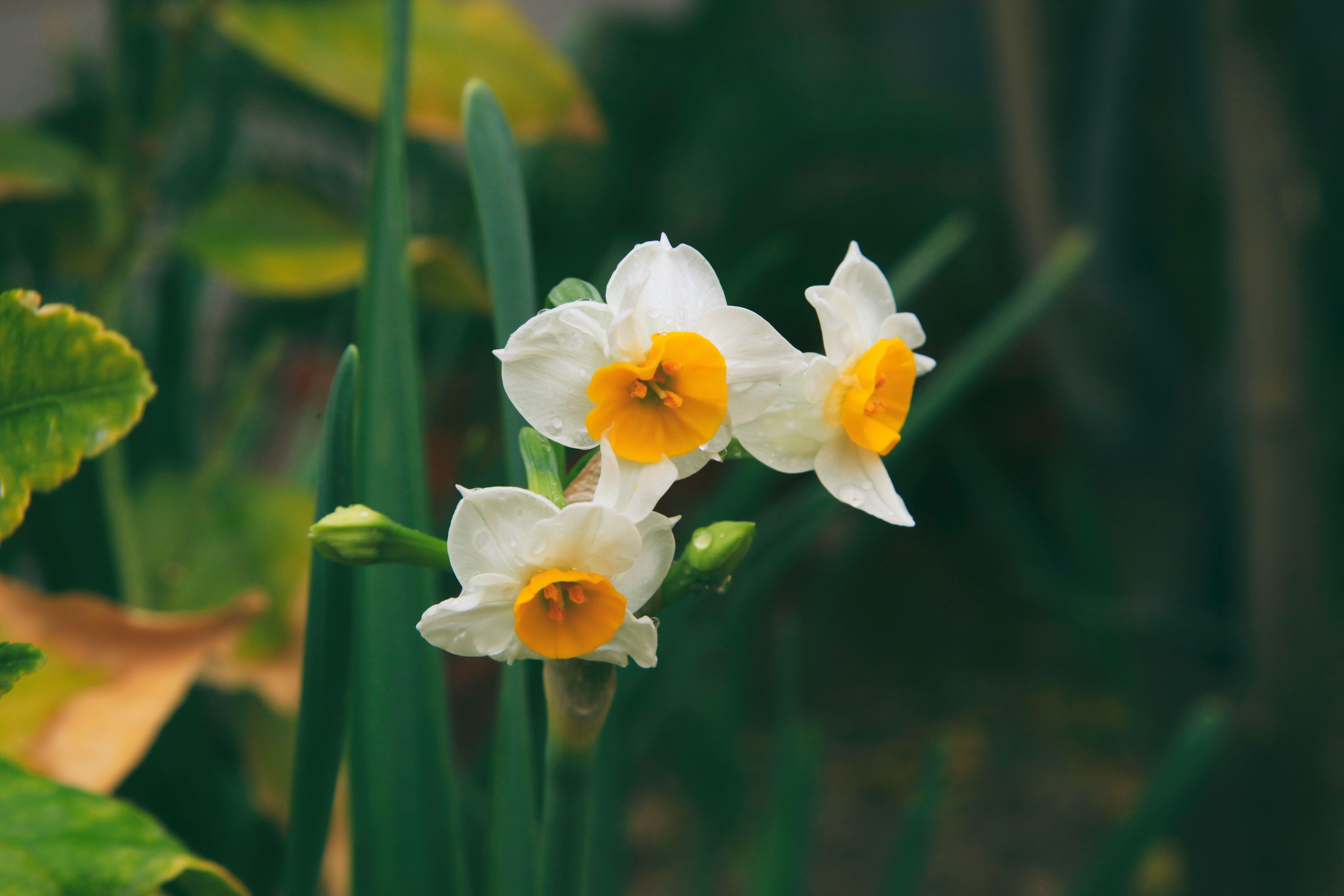 水仙の中でも「ニホンスイセン」は、冬の間から香りの良い花を咲かせます。お客様への心遣いとして、トイレや洗面台に飾るのもおすすめですよ。