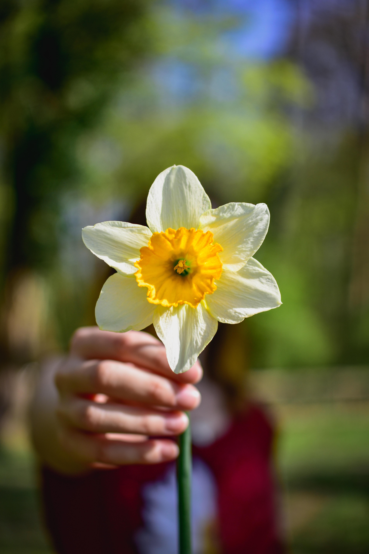 水仙は厳しい冬の寒さにも負けずに花を咲かせることから、縁起の良いお花という謂れがあるほか、雪の中でも咲くので、春の訪れを告げる「雪中花」とも呼ばれます。